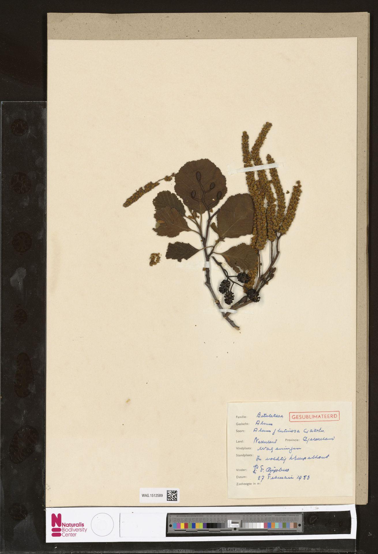 WAG.1512589 | Alnus glutinosa (L.) Gaertn.