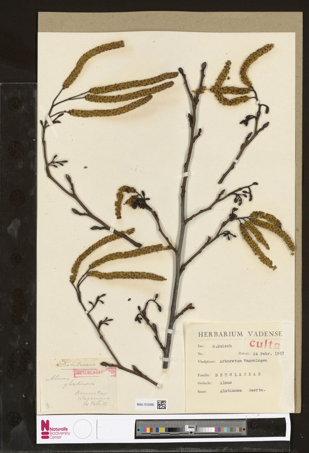 WAG.1512595 | Alnus glutinosa (L.) Gaertn.