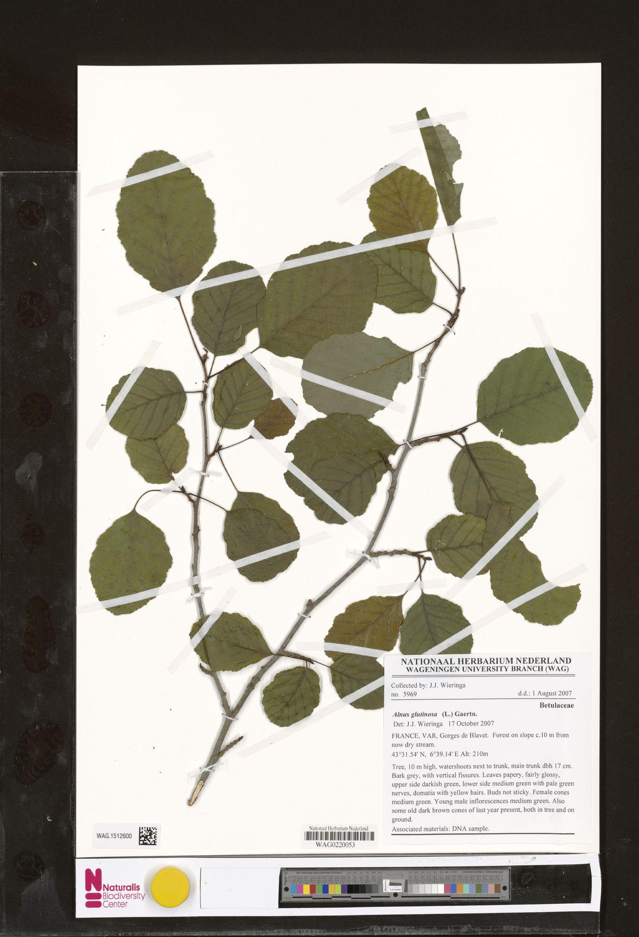 WAG.1512600 | Alnus glutinosa (L.) Gaertn.