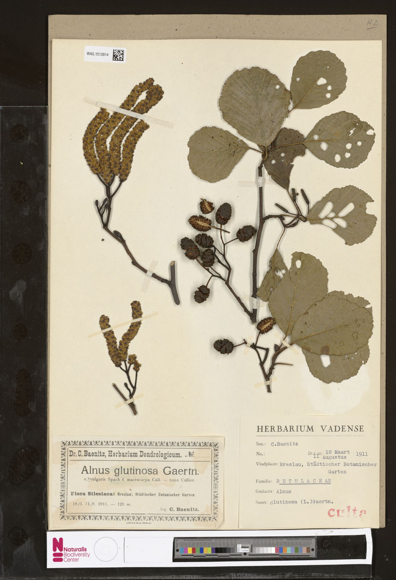 WAG.1512614 | Alnus glutinosa (L.) Gaertn.