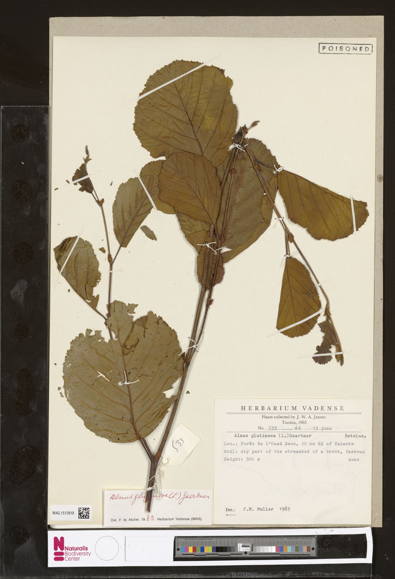 WAG.1512618 | Alnus glutinosa (L.) Gaertn.