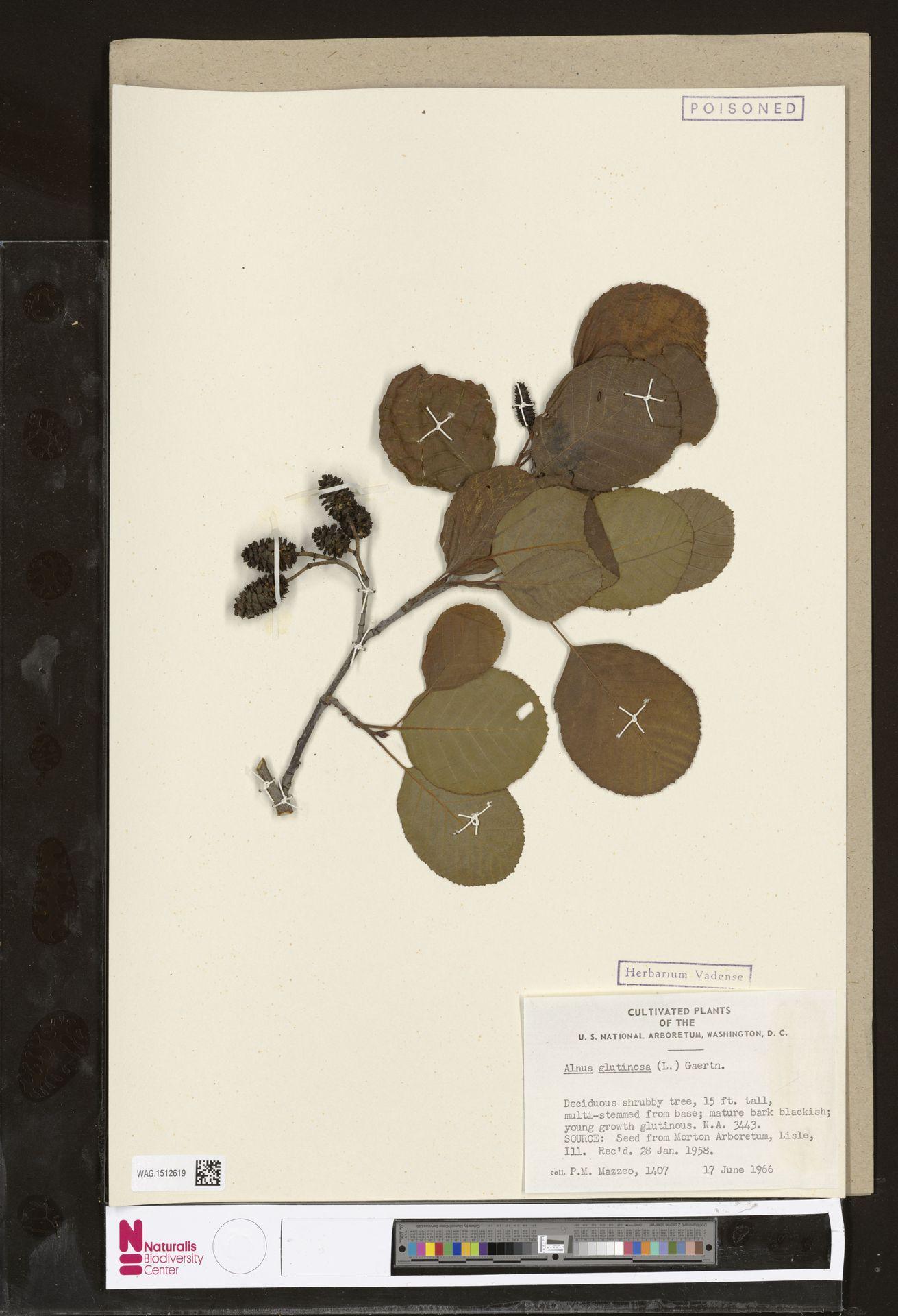 WAG.1512619   Alnus glutinosa (L.) Gaertn.