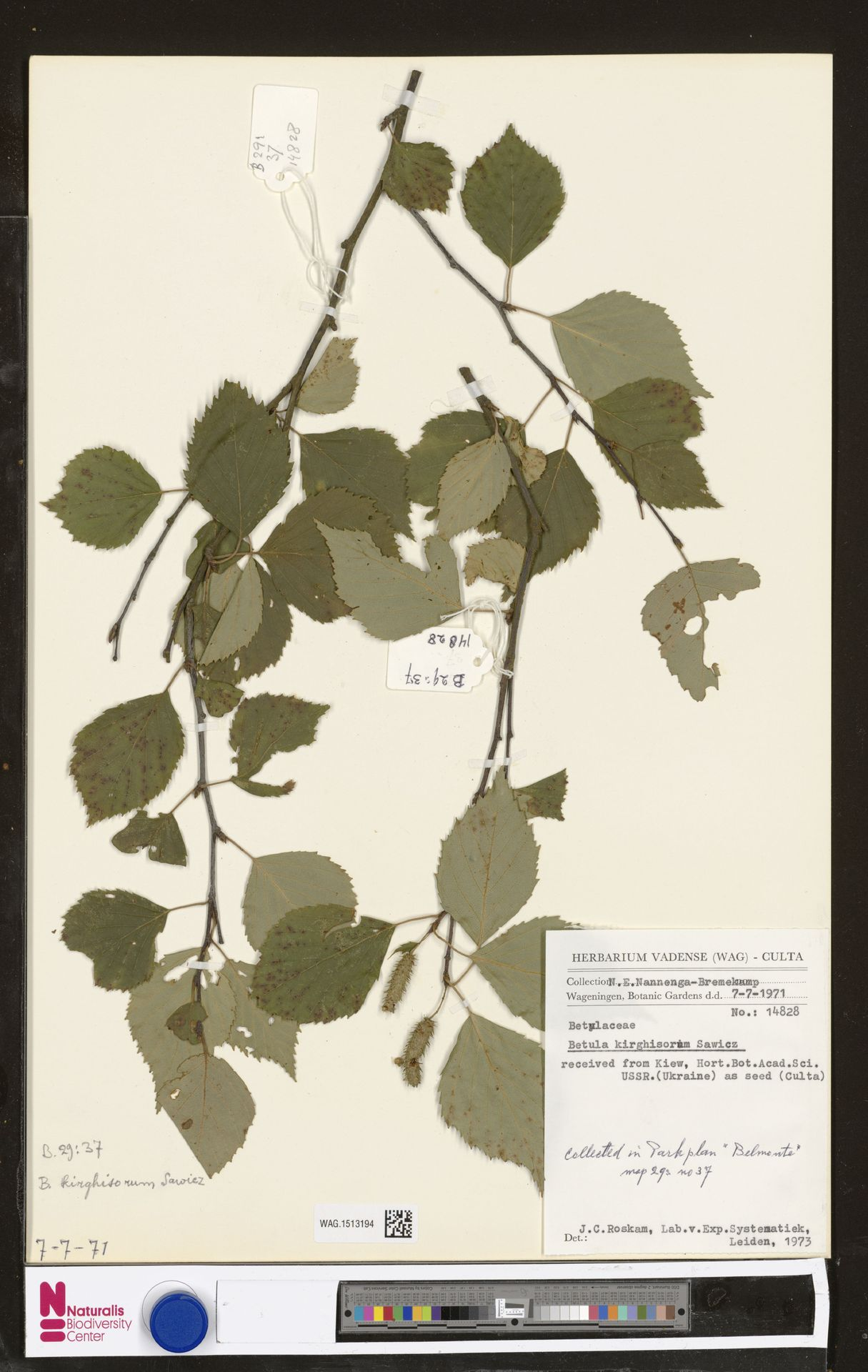 WAG.1513194 | Betula kirghisorum Sav.-Rycz.