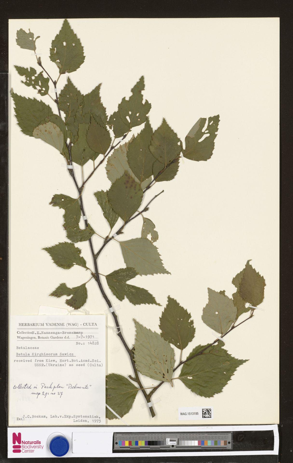 WAG.1513195   Betula kirghisorum Sav.-Rycz.
