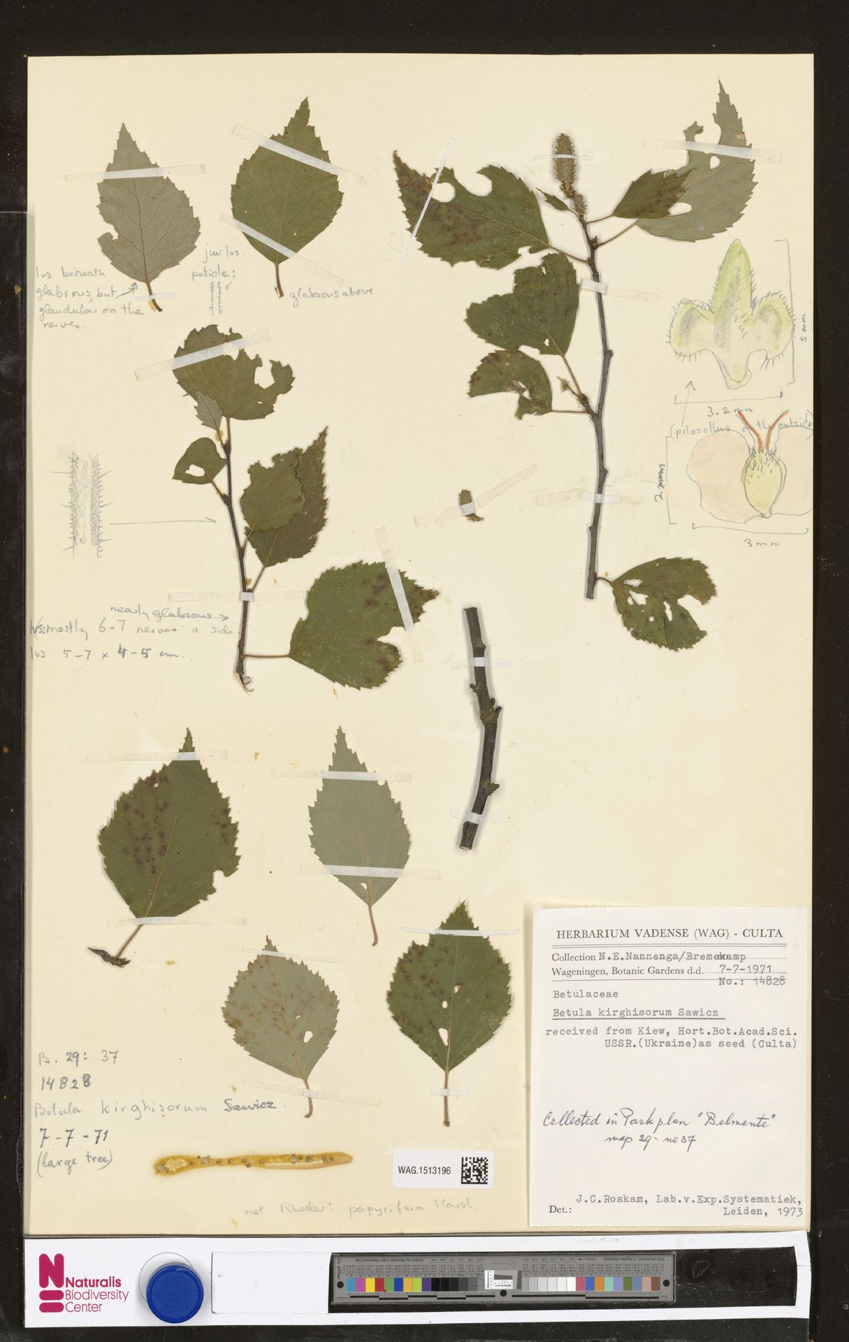 WAG.1513196 | Betula kirghisorum Sav.-Rycz.