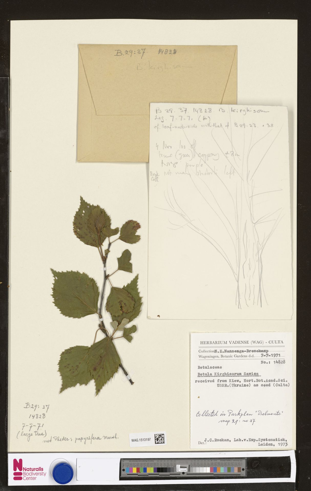 WAG.1513197 | Betula kirghisorum Sav.-Rycz.
