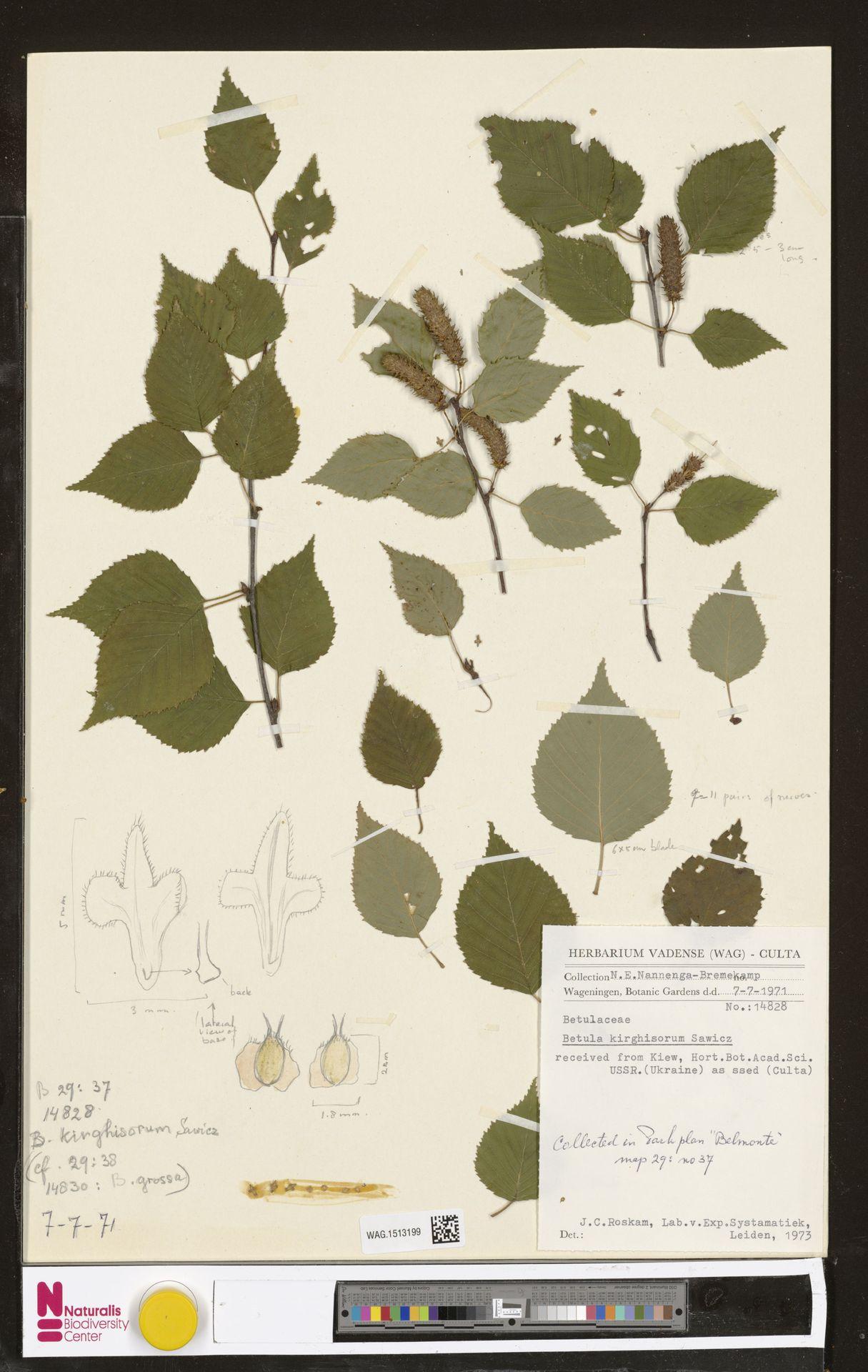 WAG.1513199 | Betula kirghisorum Sav.-Rycz.