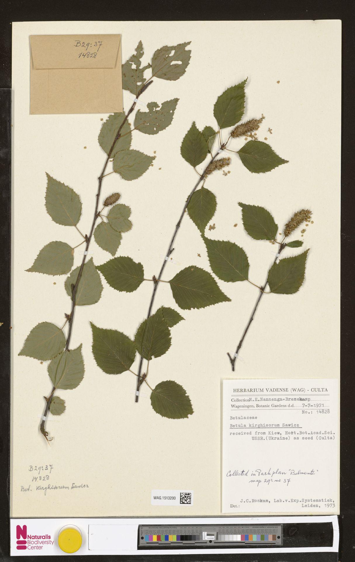 WAG.1513200   Betula kirghisorum Sav.-Rycz.