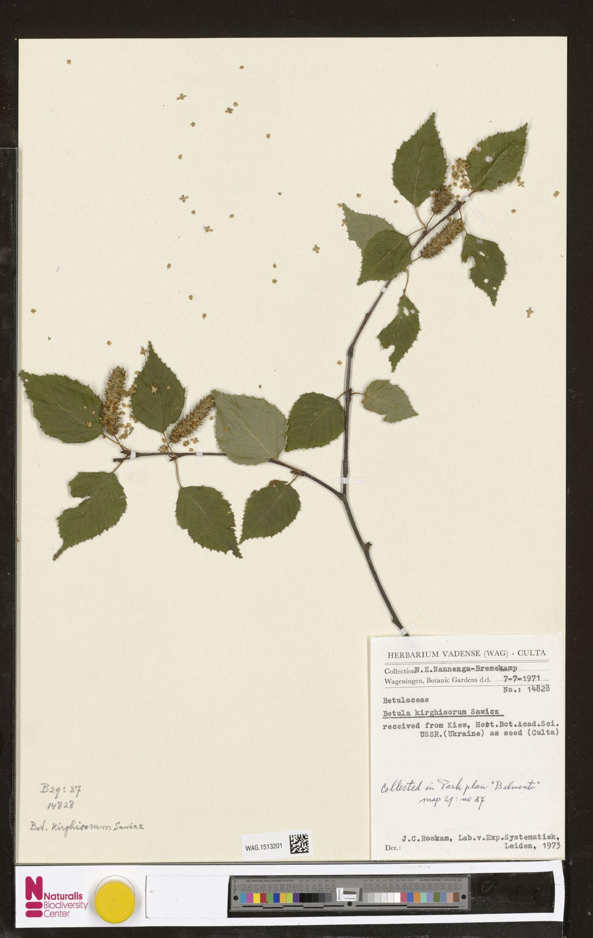 WAG.1513201 | Betula kirghisorum Sav.-Rycz.