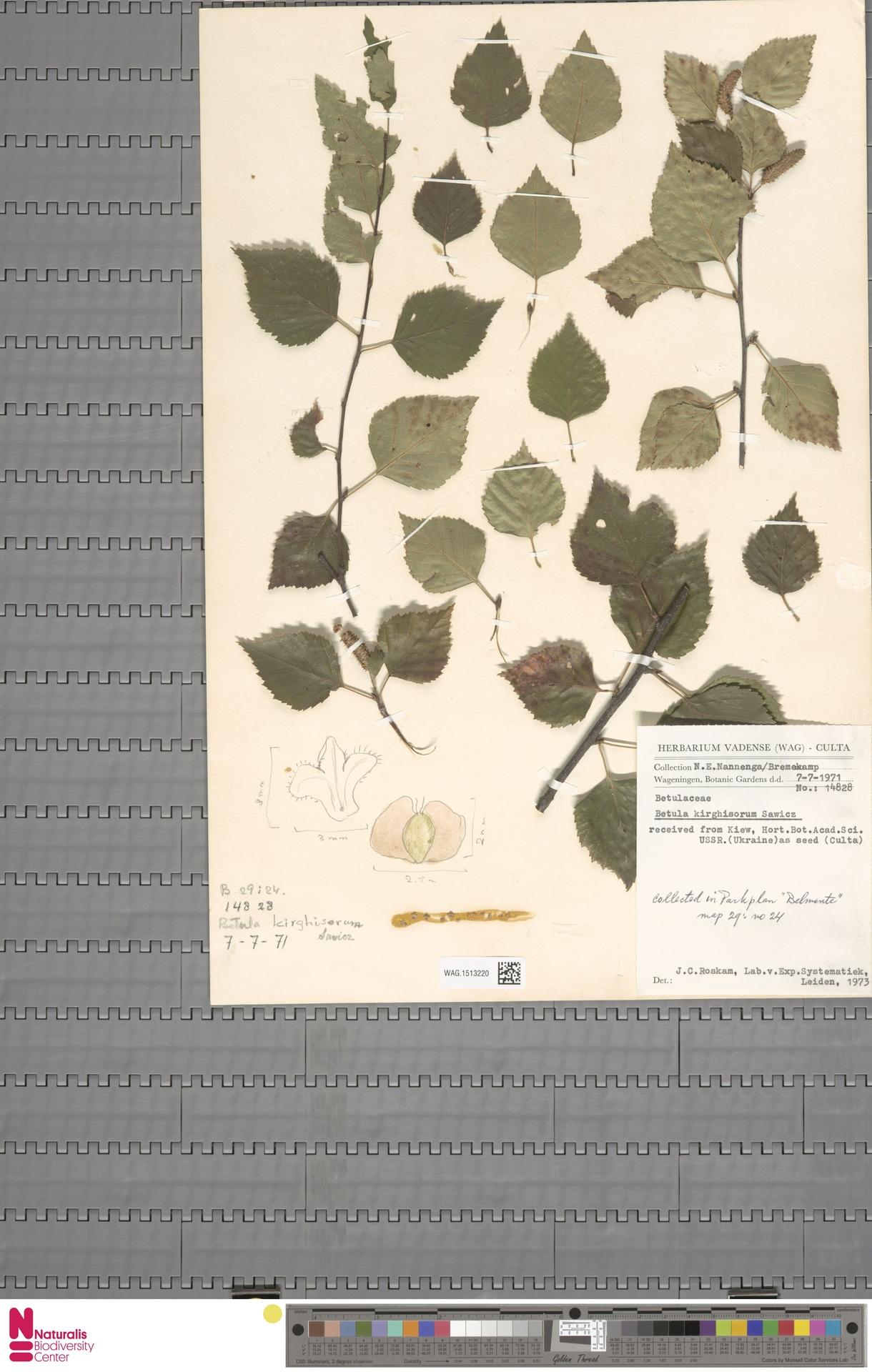 WAG.1513220 | Betula kirghisorum Sav.-Rycz.