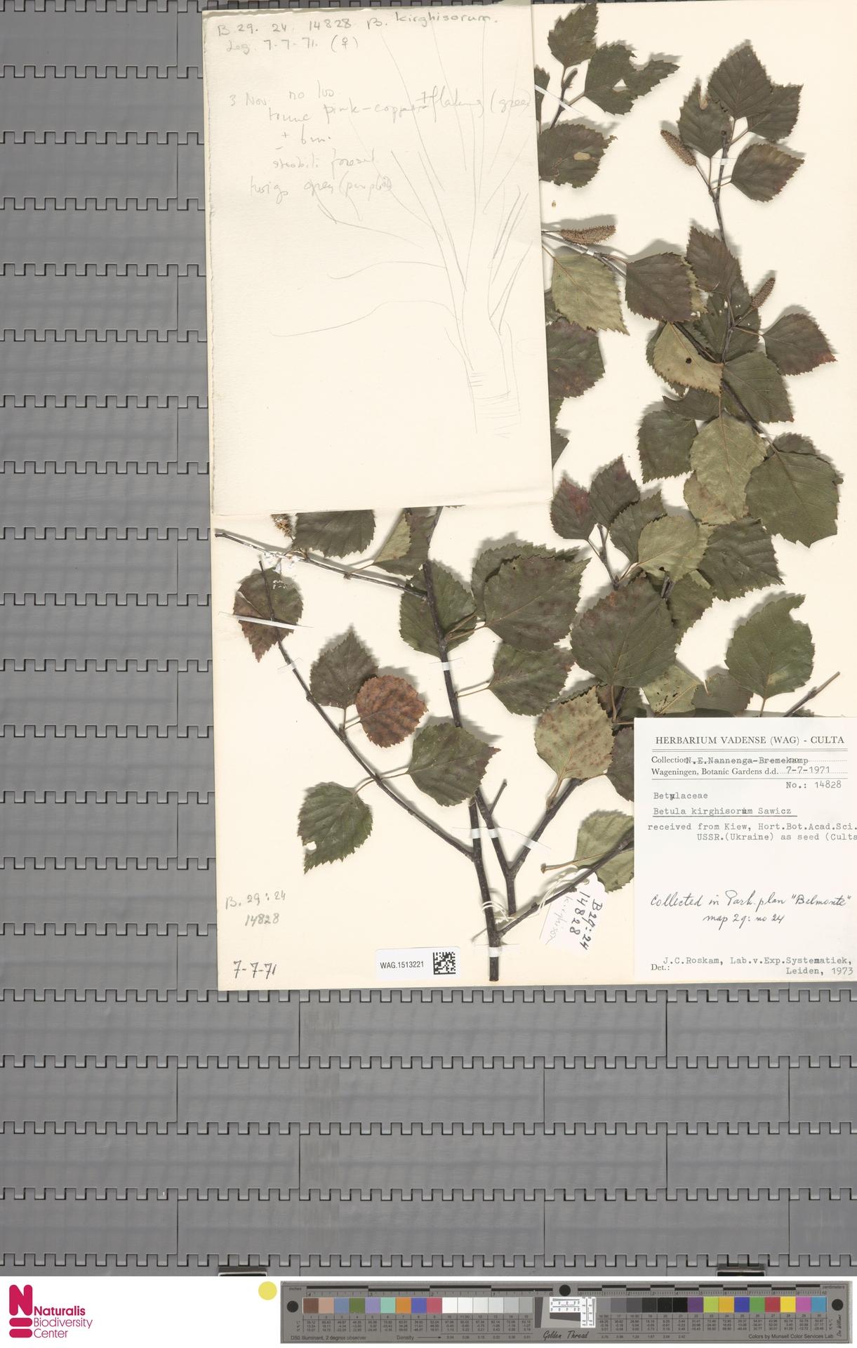 WAG.1513221 | Betula kirghisorum Sav.-Rycz.
