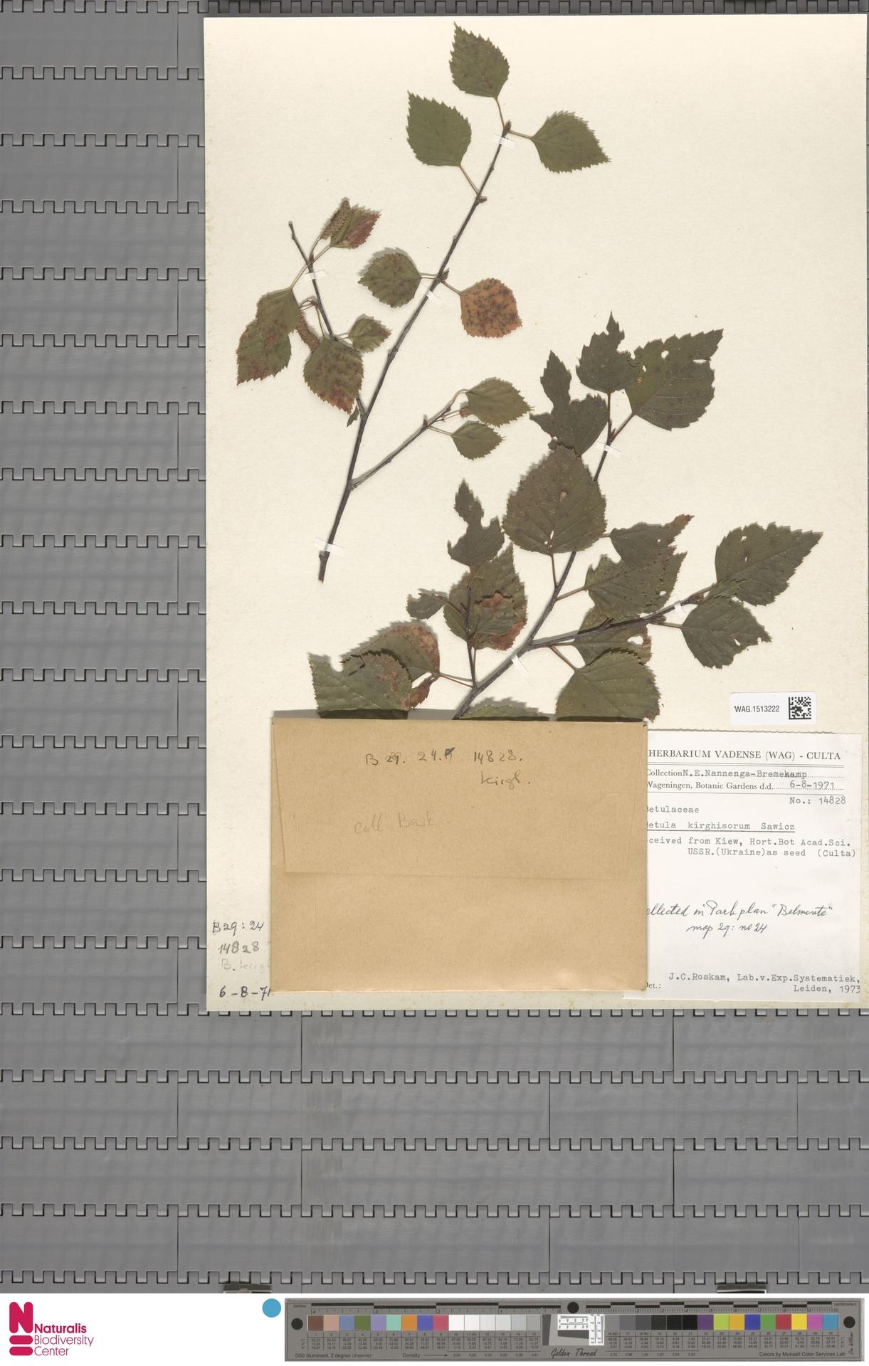 WAG.1513222 | Betula kirghisorum Sav.-Rycz.