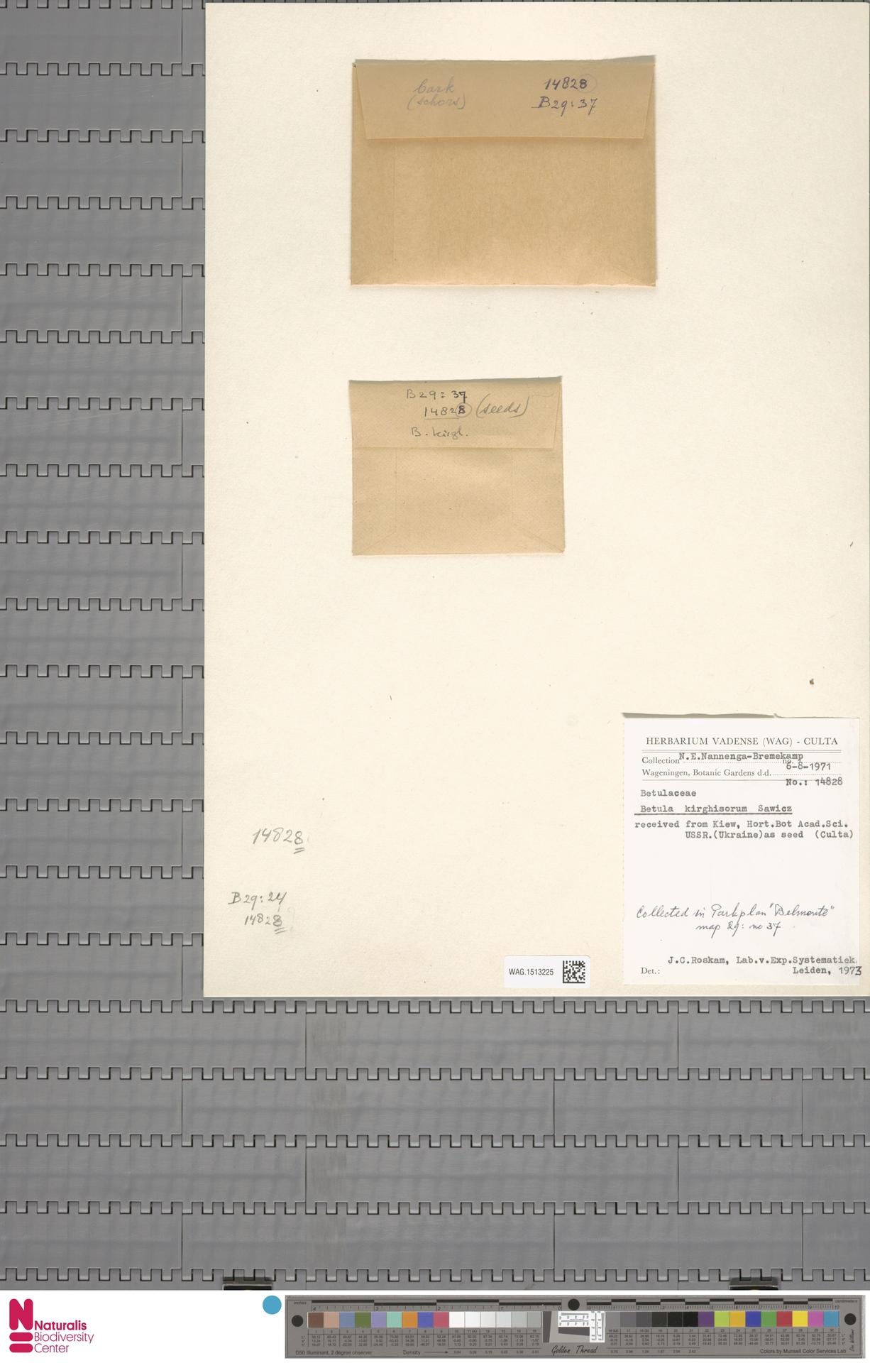 WAG.1513225 | Betula kirghisorum Sav.-Rycz.