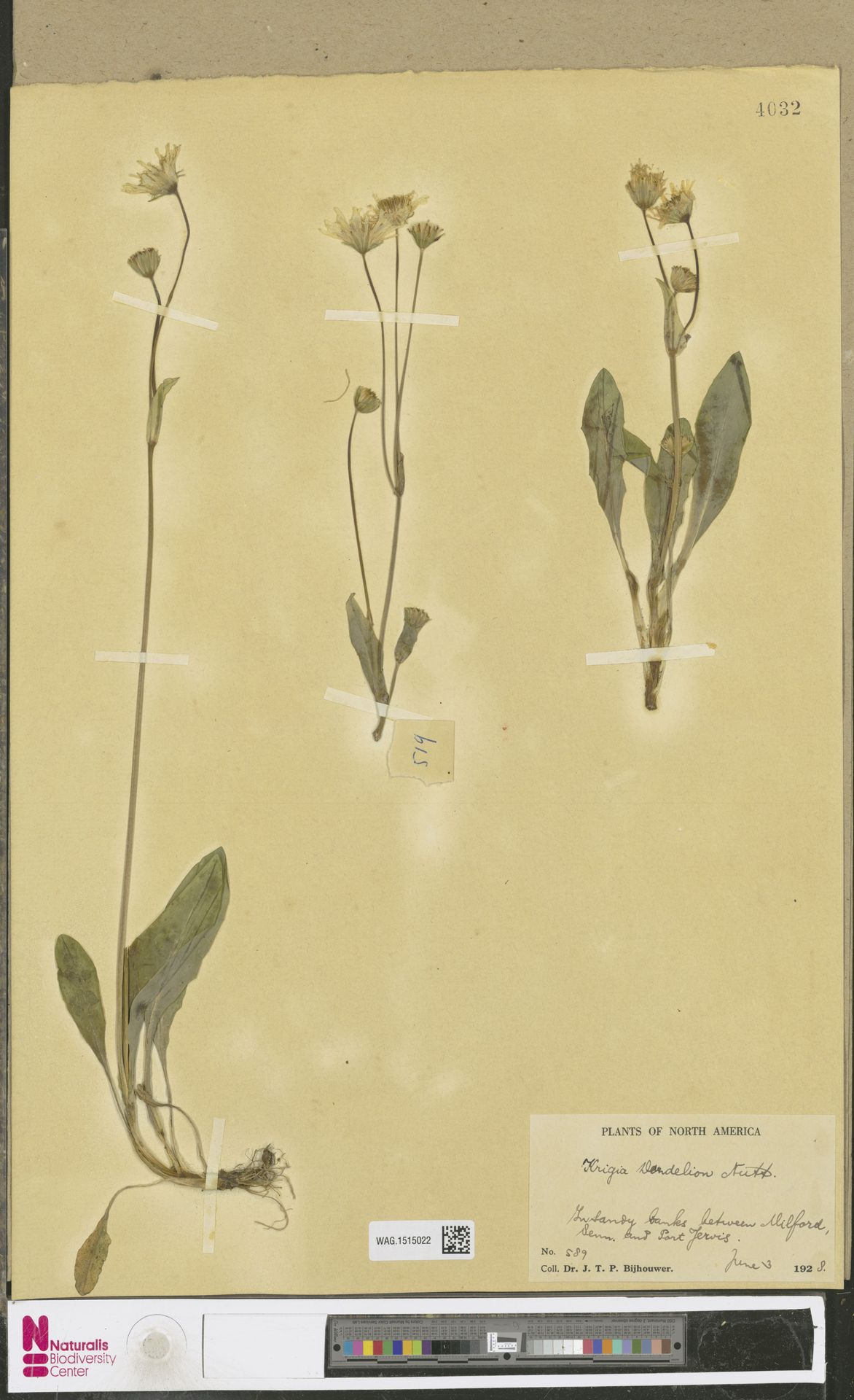WAG.1515022 | Krigia dandelion (L.) Nutt.