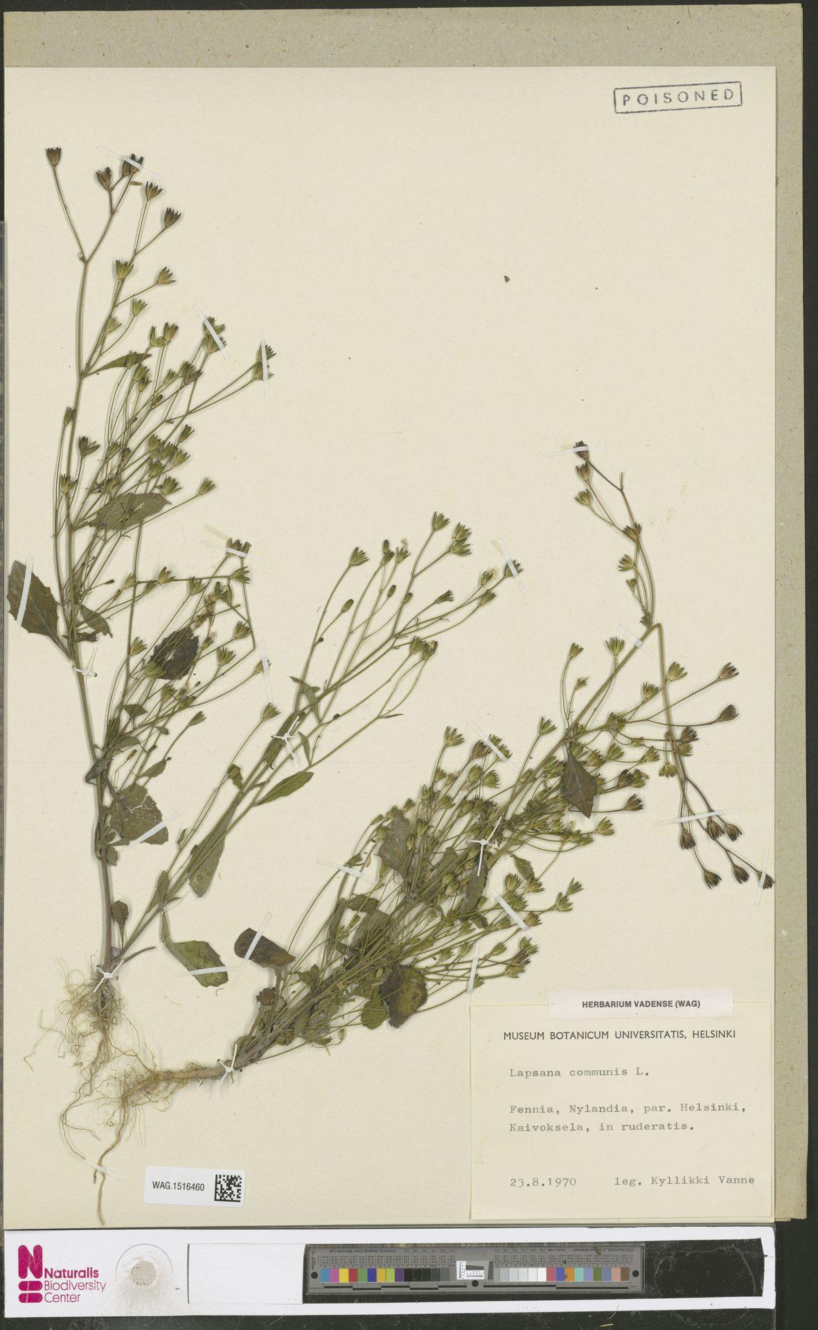 WAG.1516460 | Lapsana communis L.