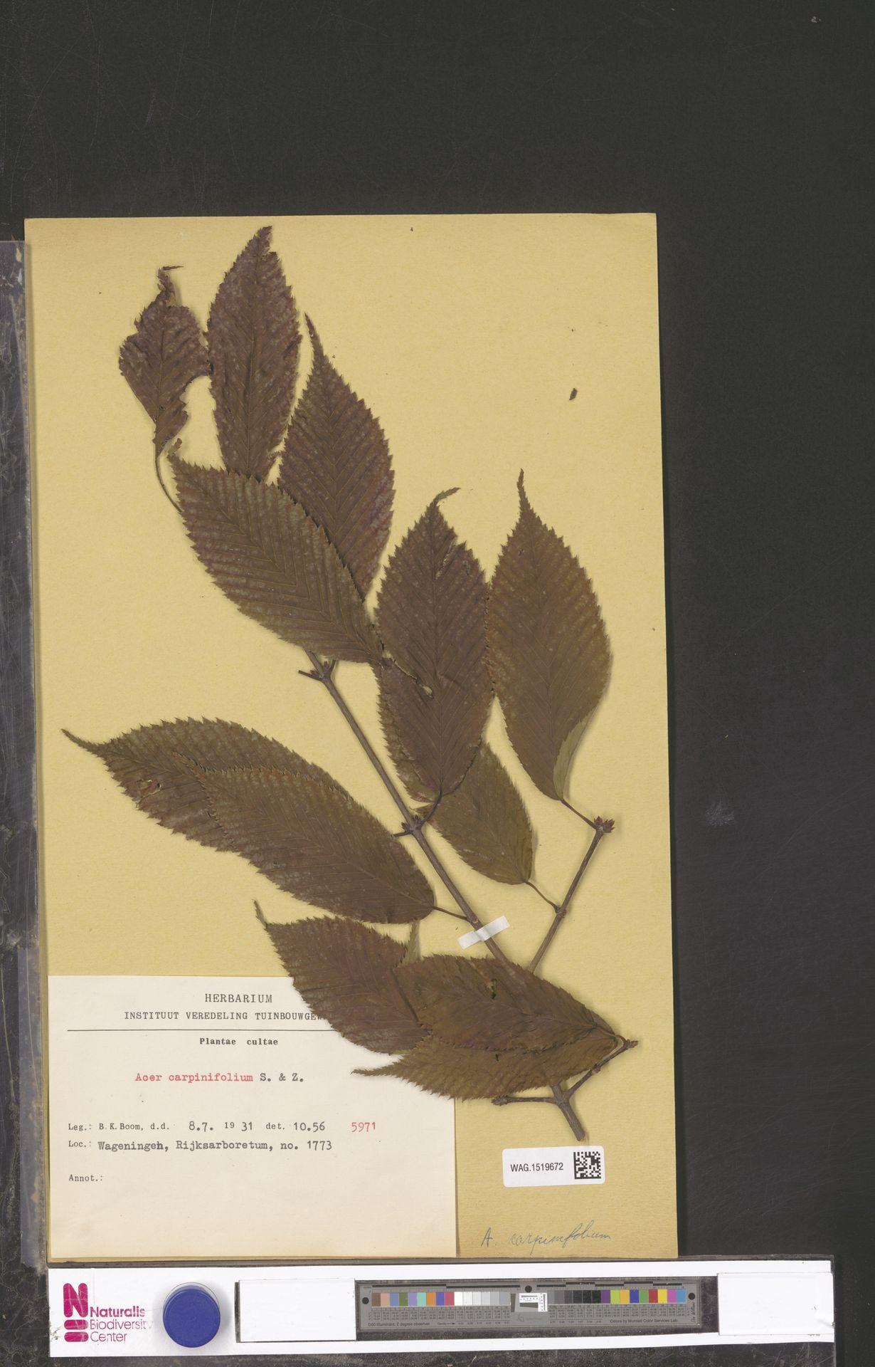 WAG.1519672   Acer carpinifolium Siebold & Zucc.