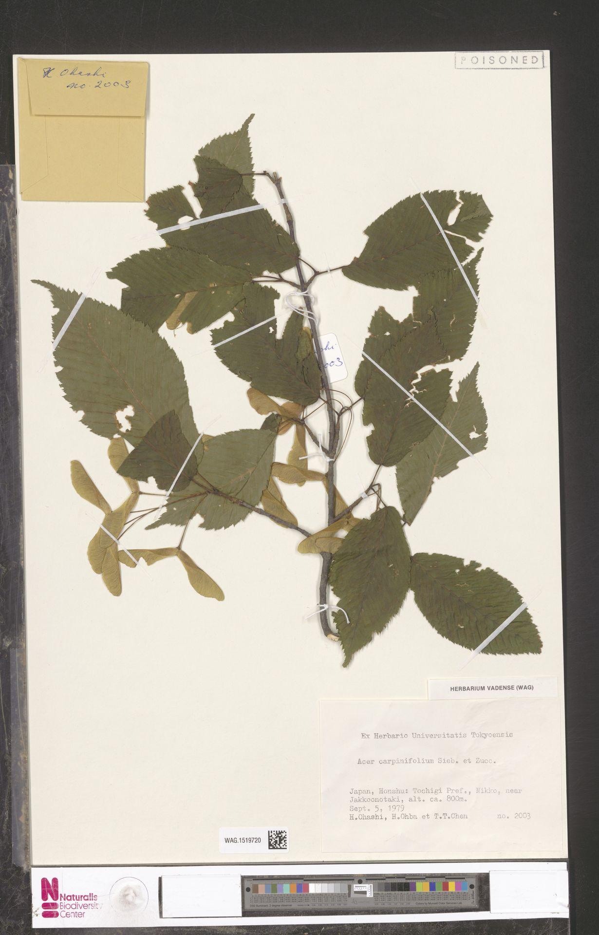 WAG.1519720   Acer carpinifolium Siebold & Zucc.