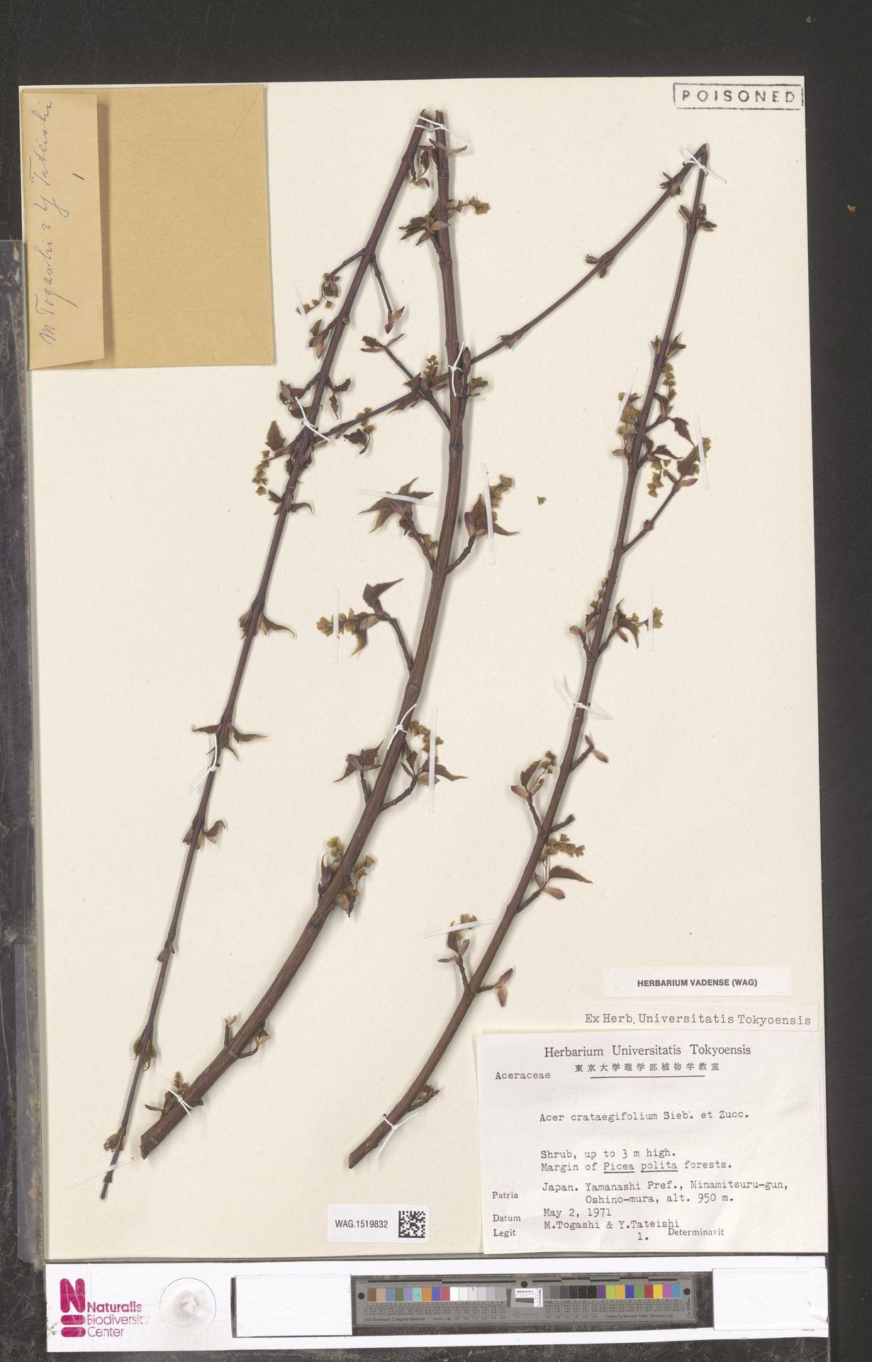 WAG.1519832 | Acer crataegifolium Siebold & Zucc.