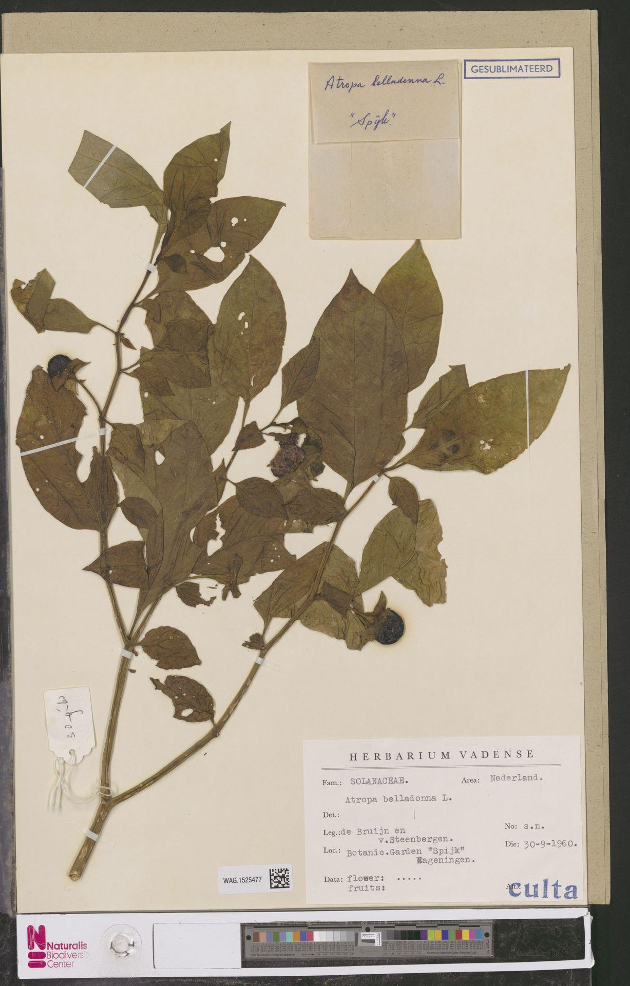 WAG.1525477 | Atropa belladonna L.