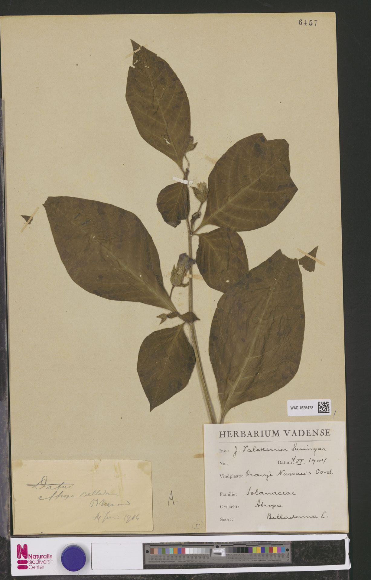 WAG.1525478 | Atropa belladonna L.