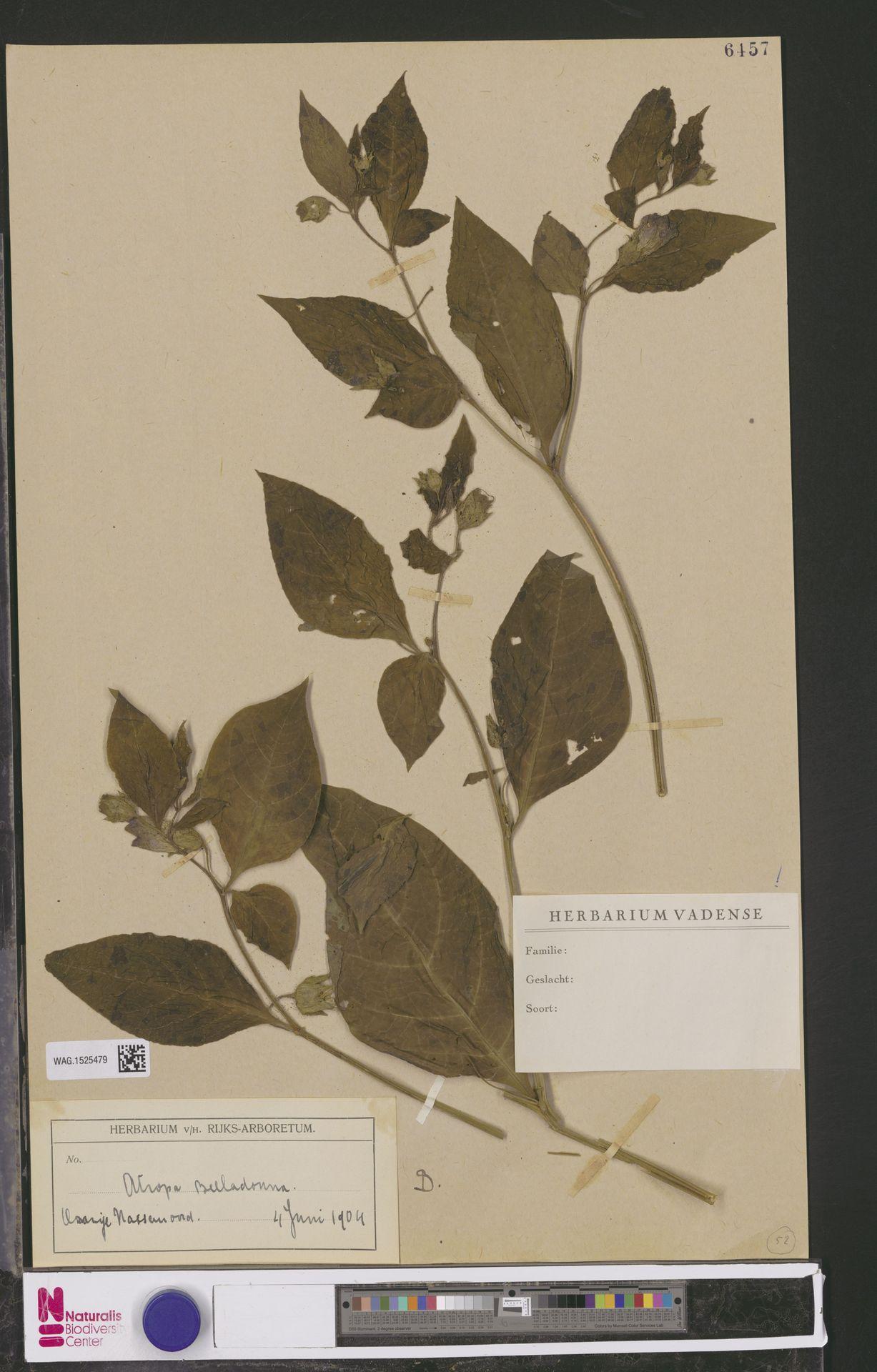 WAG.1525479 | Atropa belladonna L.