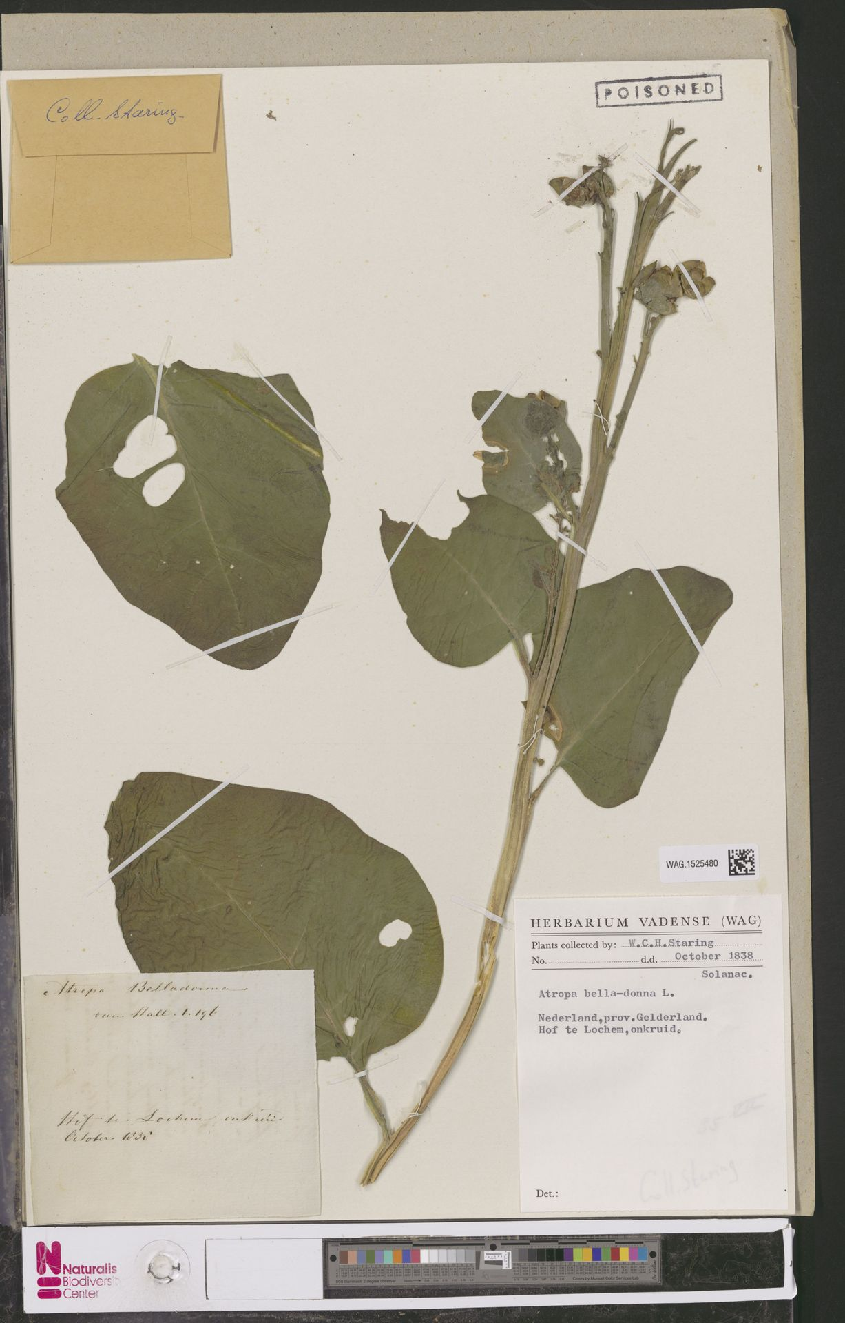 WAG.1525480 | Atropa belladonna L.