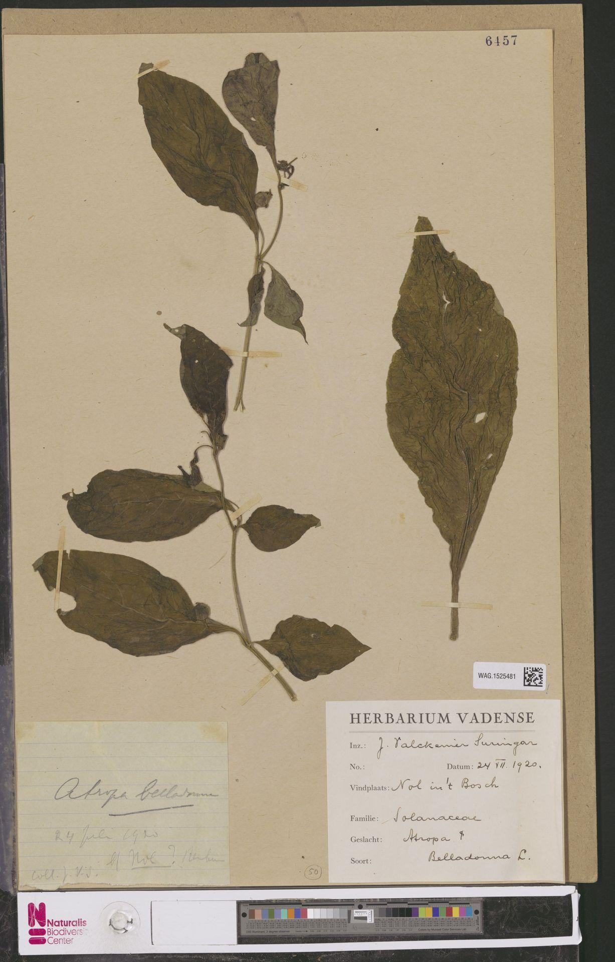 WAG.1525481 | Atropa belladonna L.