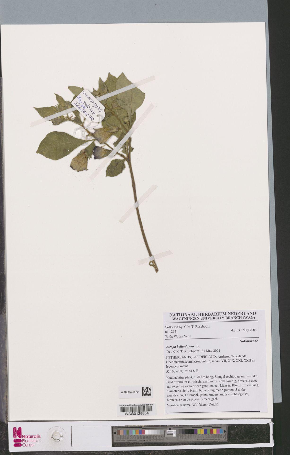 WAG.1525482   Atropa belladonna L.