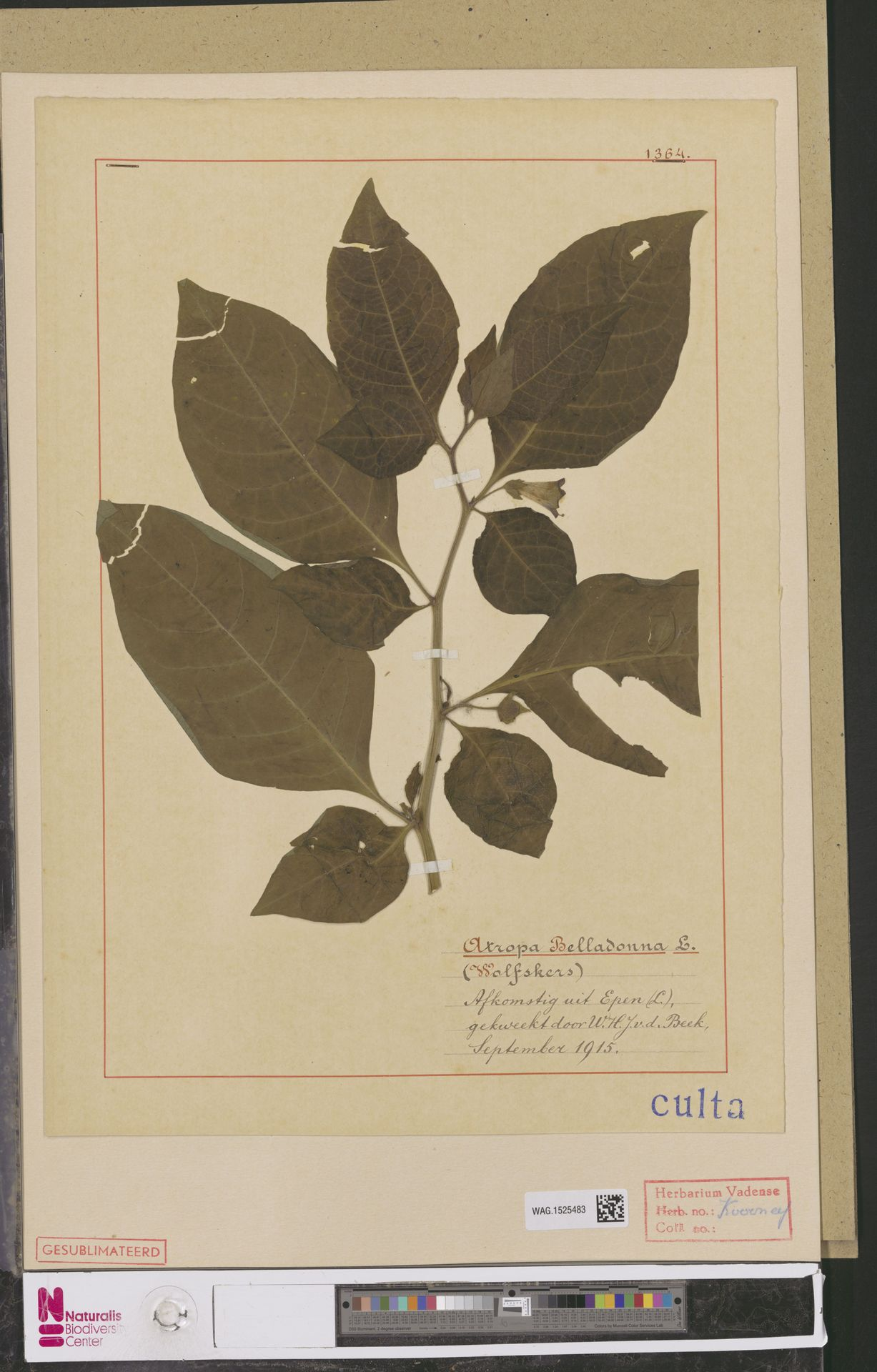 WAG.1525483 | Atropa belladonna L.