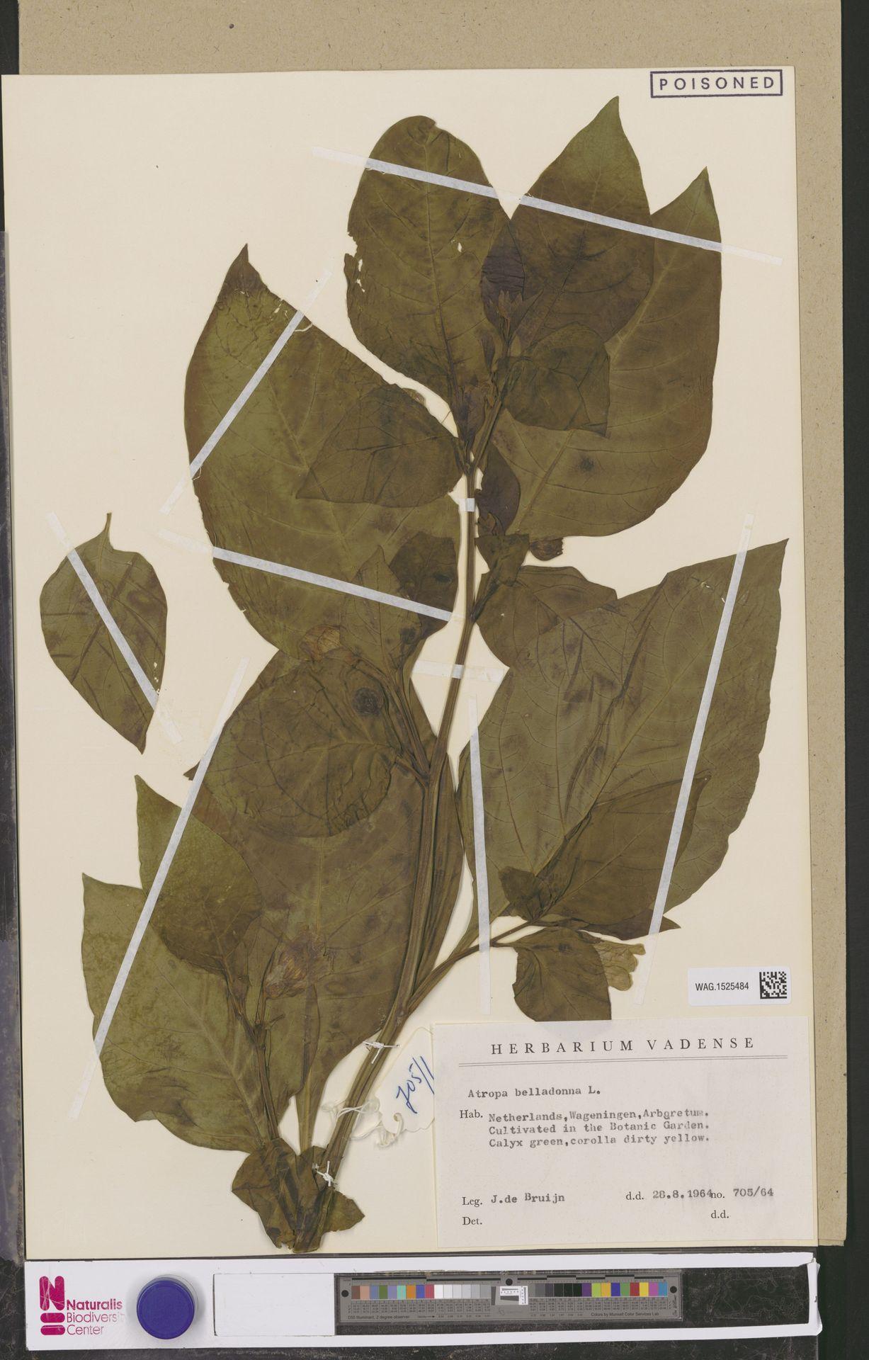 WAG.1525484 | Atropa belladonna L.