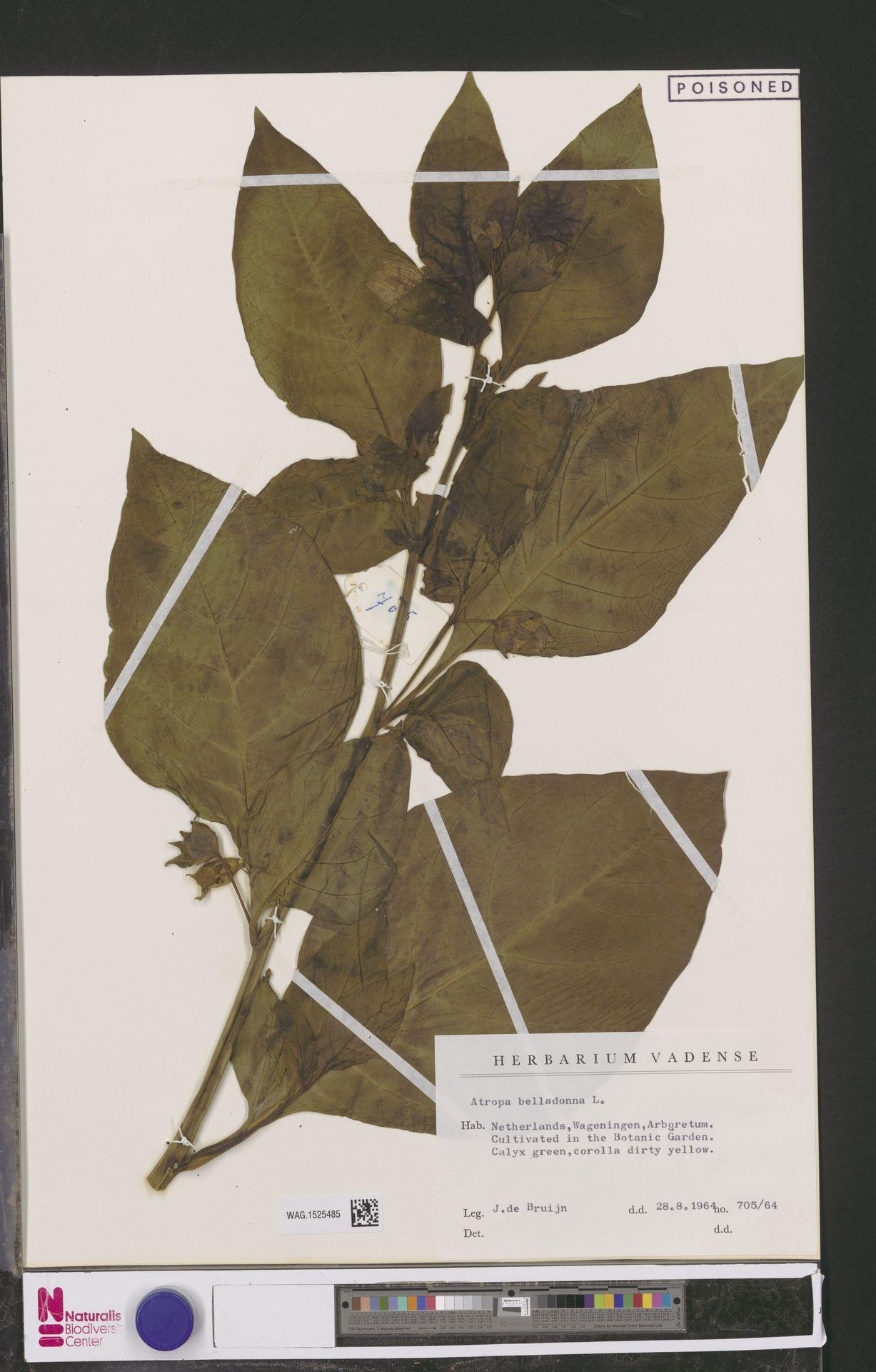 WAG.1525485 | Atropa belladonna L.
