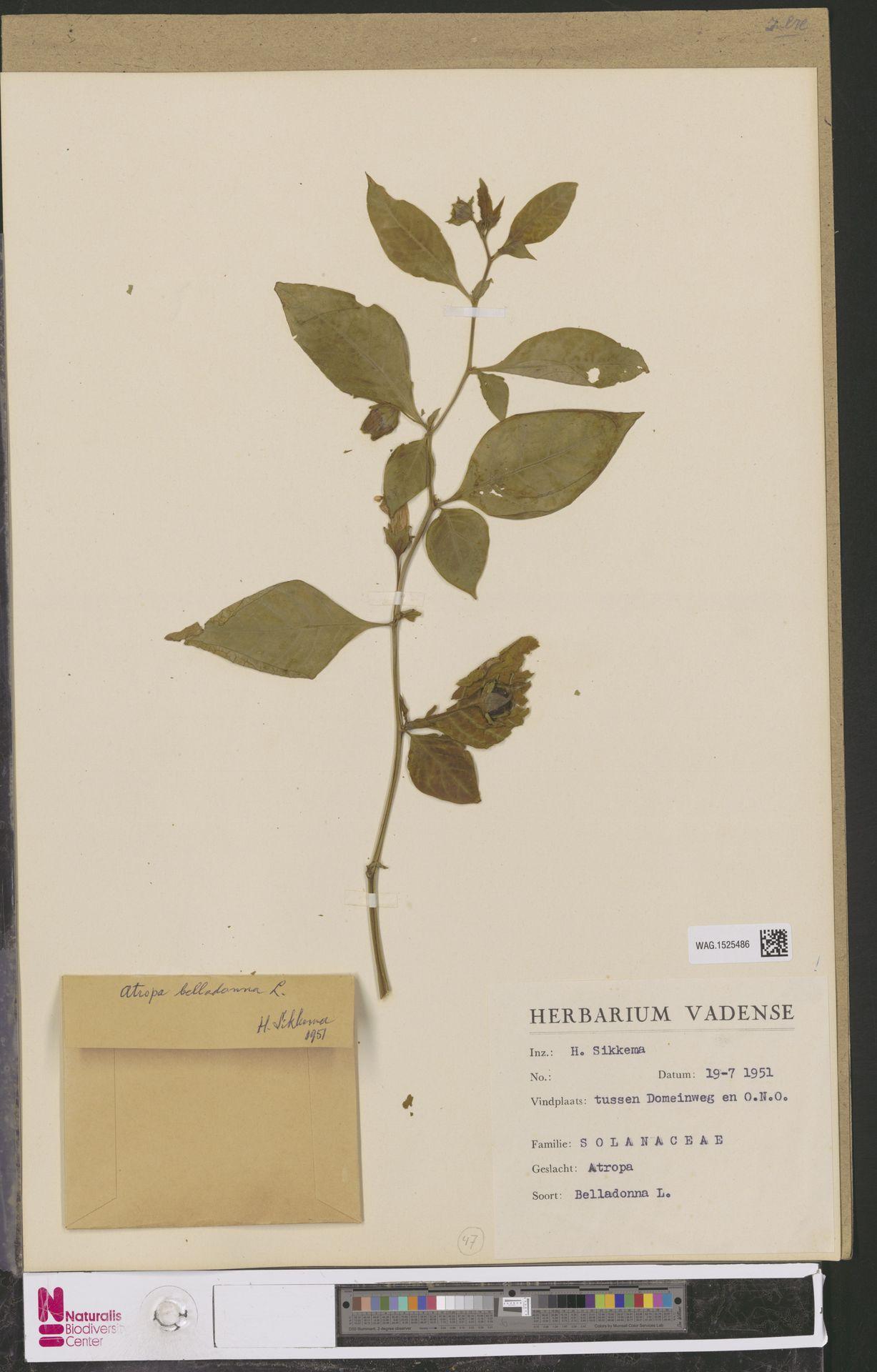 WAG.1525486 | Atropa belladonna L.