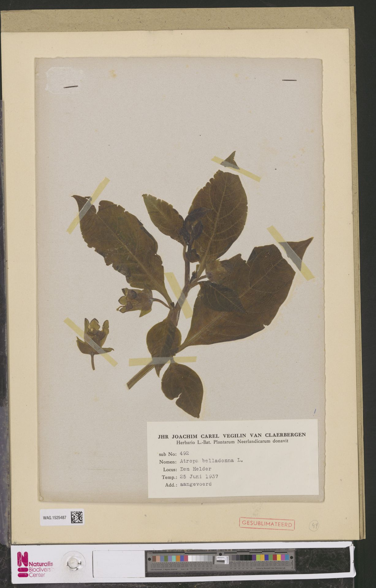 WAG.1525487 | Atropa belladonna L.