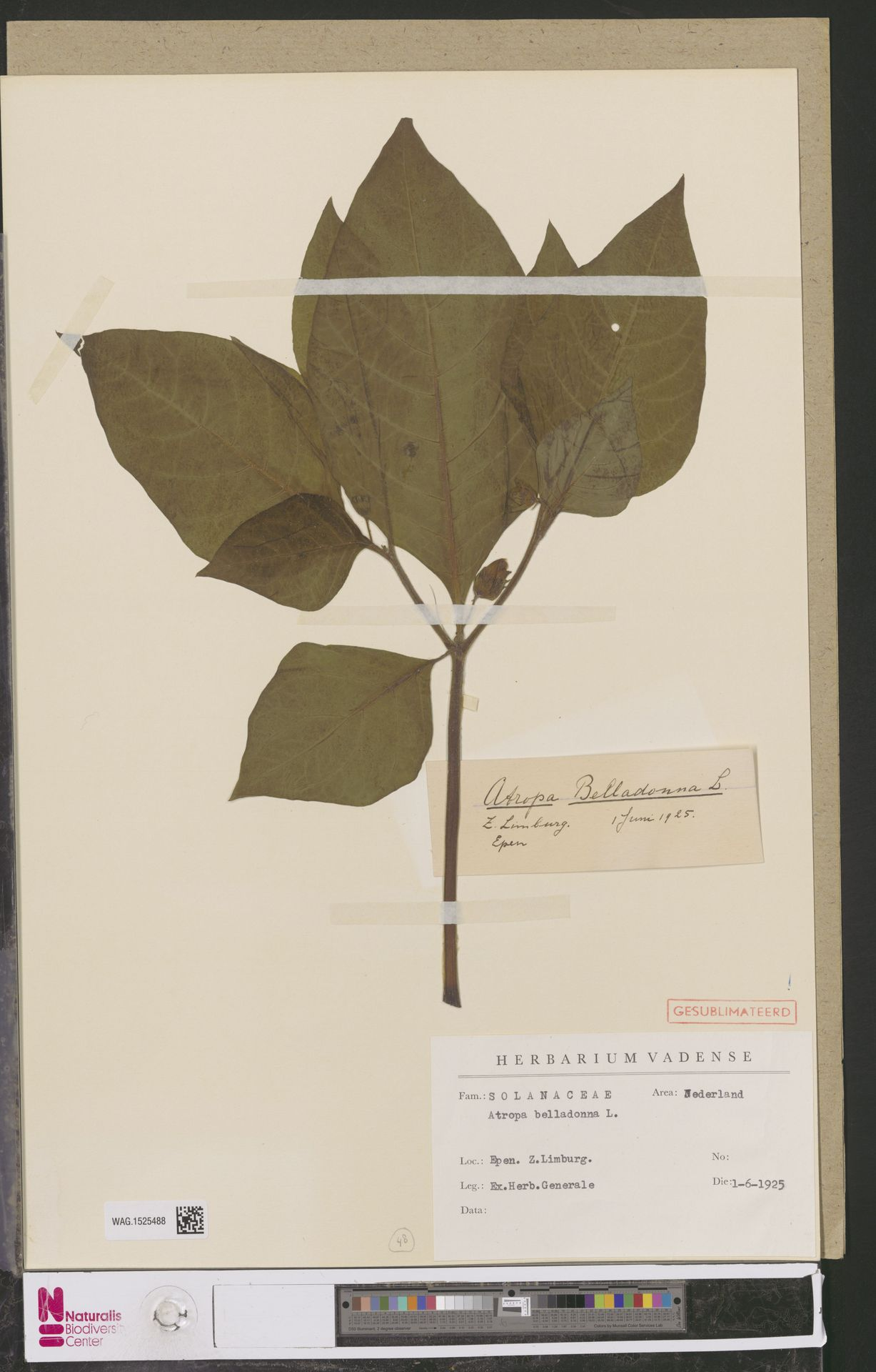 WAG.1525488 | Atropa belladonna L.
