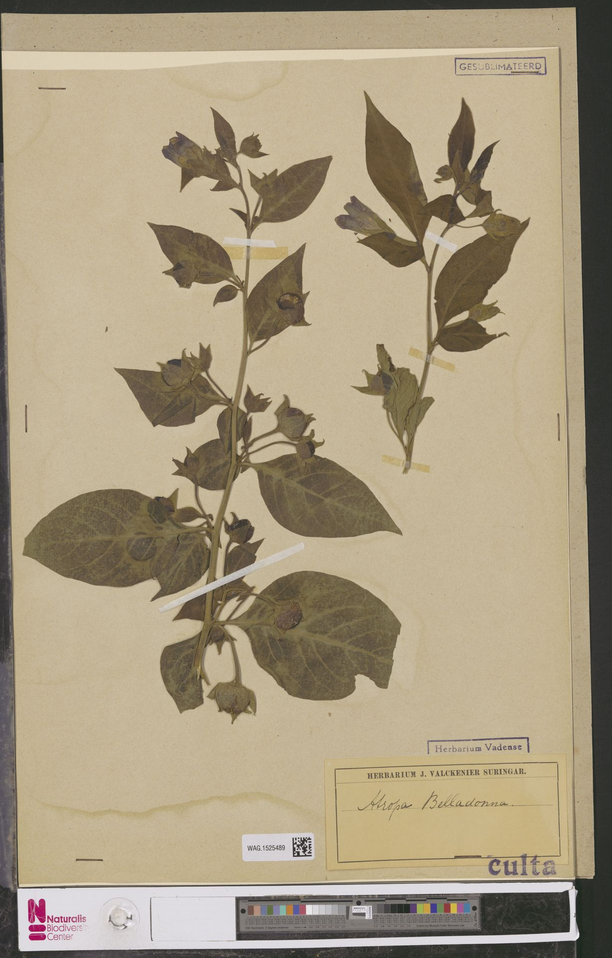 WAG.1525489 | Atropa belladonna L.