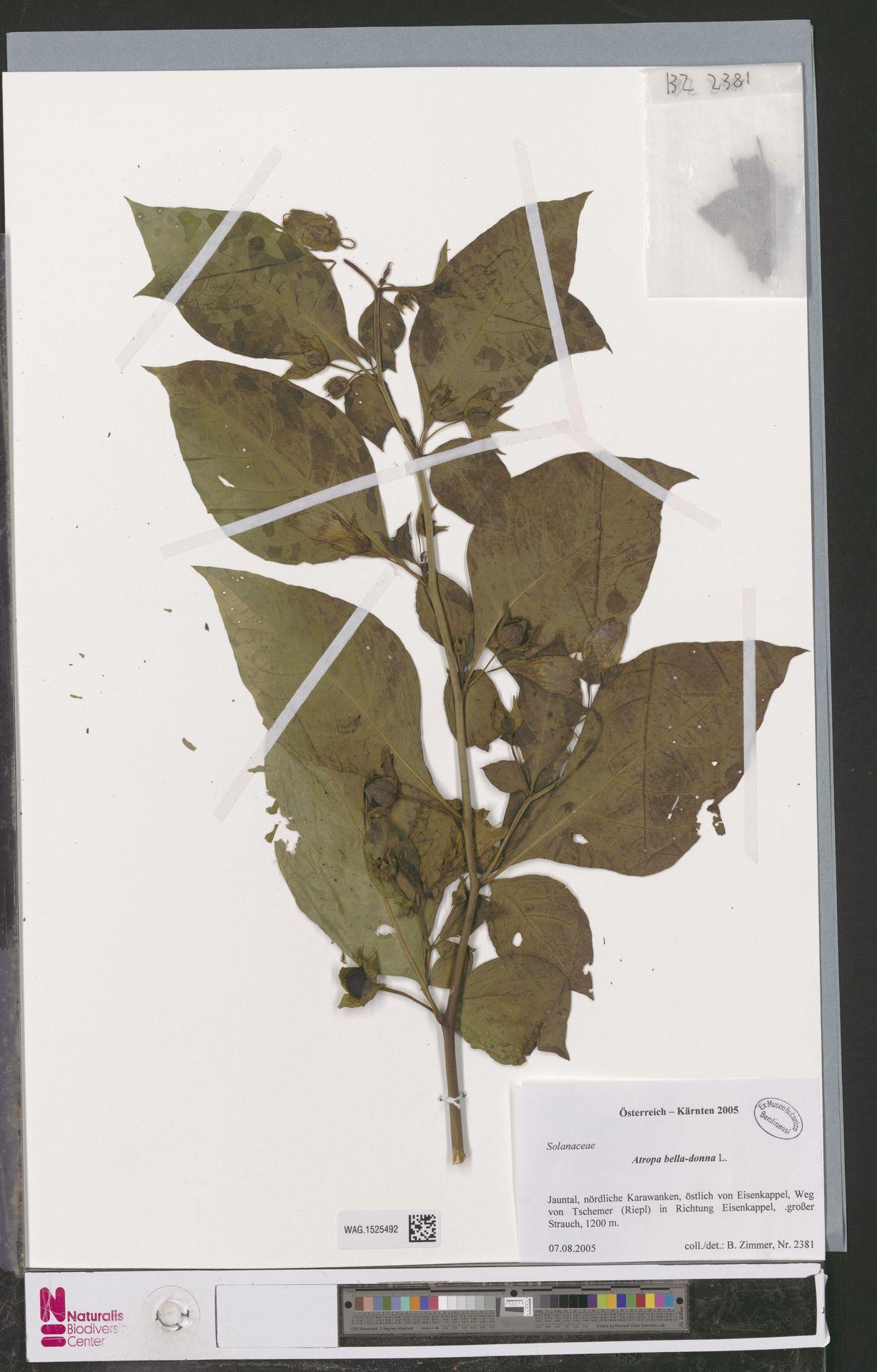WAG.1525492 | Atropa belladonna L.