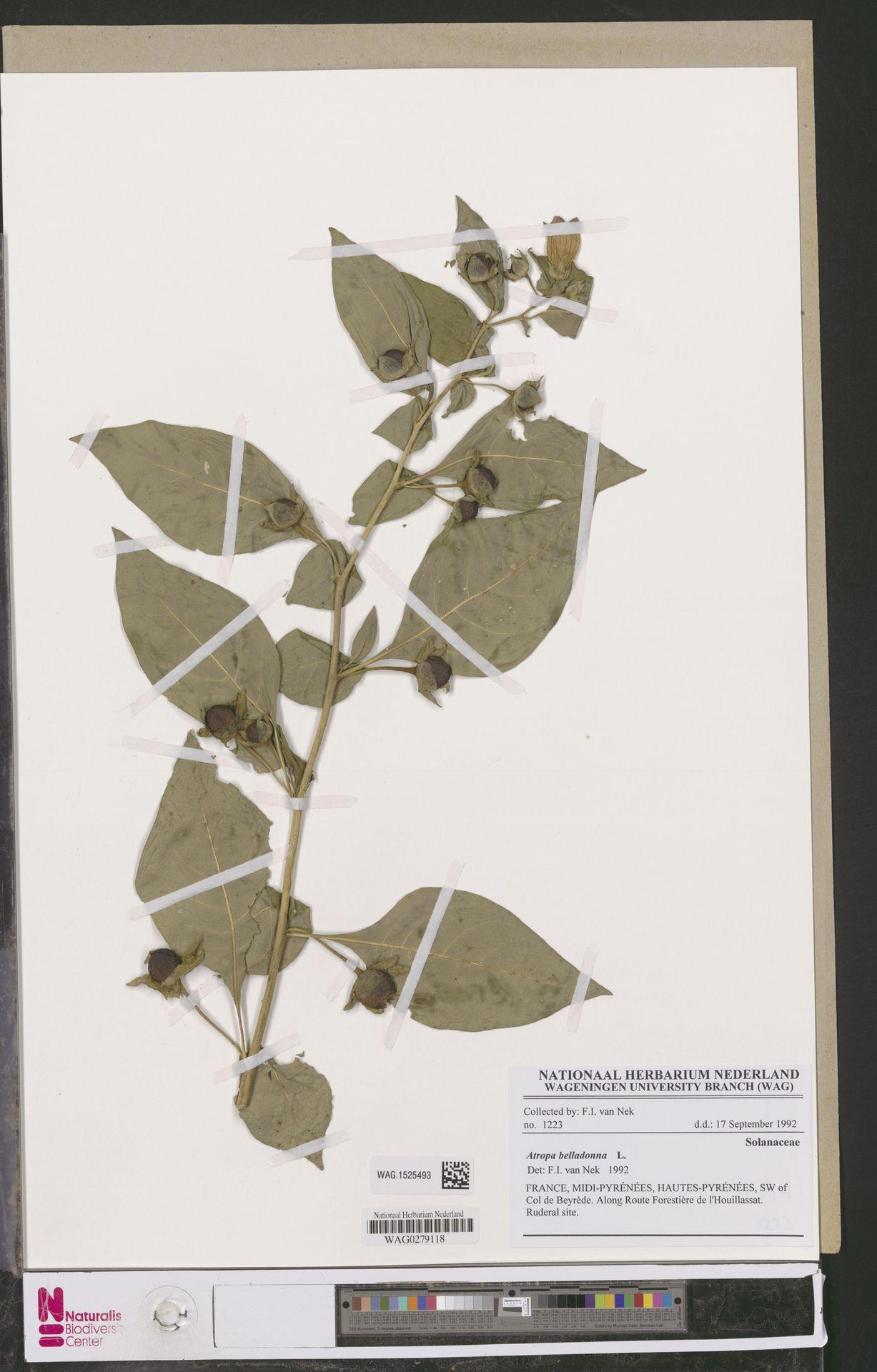 WAG.1525493 | Atropa belladonna L.