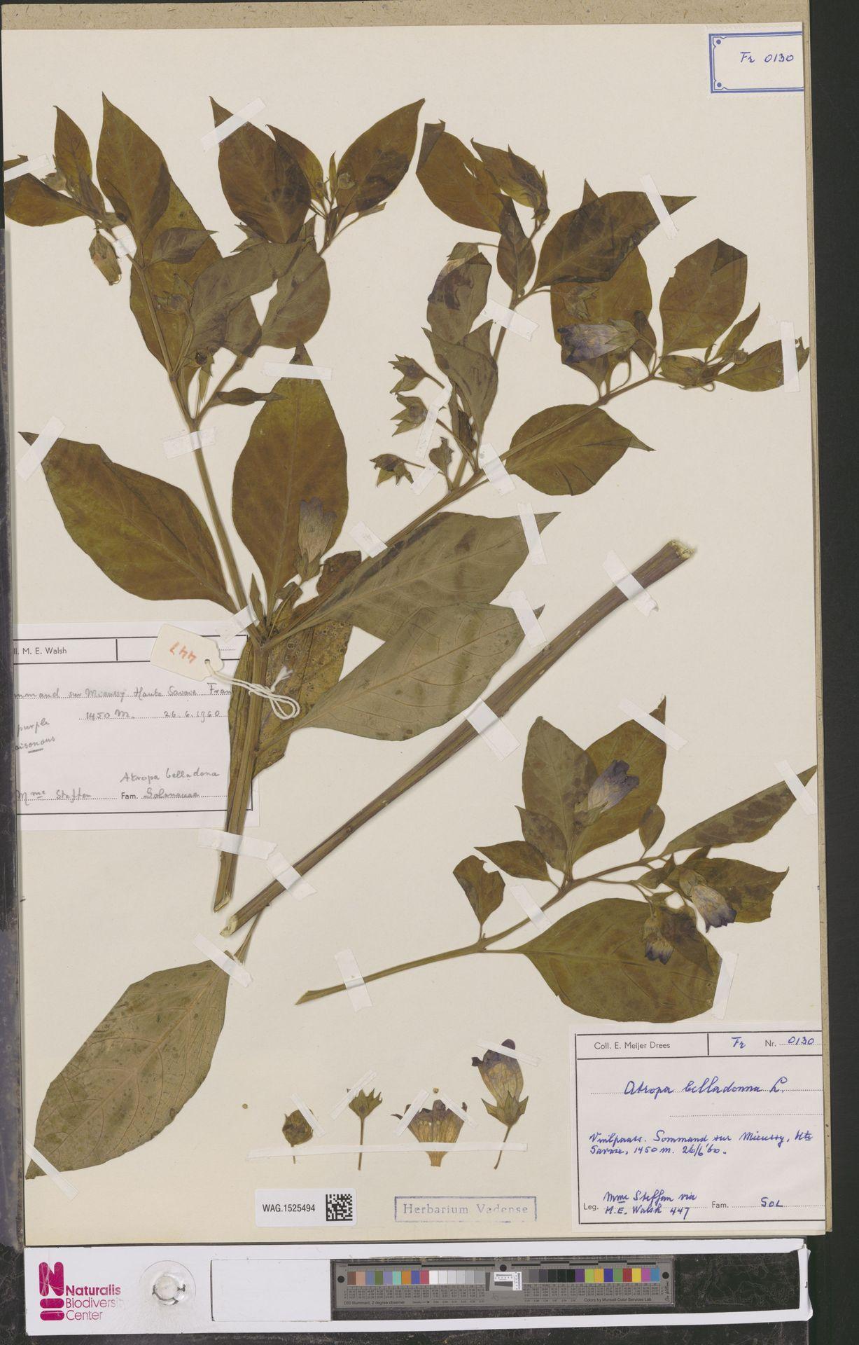 WAG.1525494 | Atropa belladonna L.