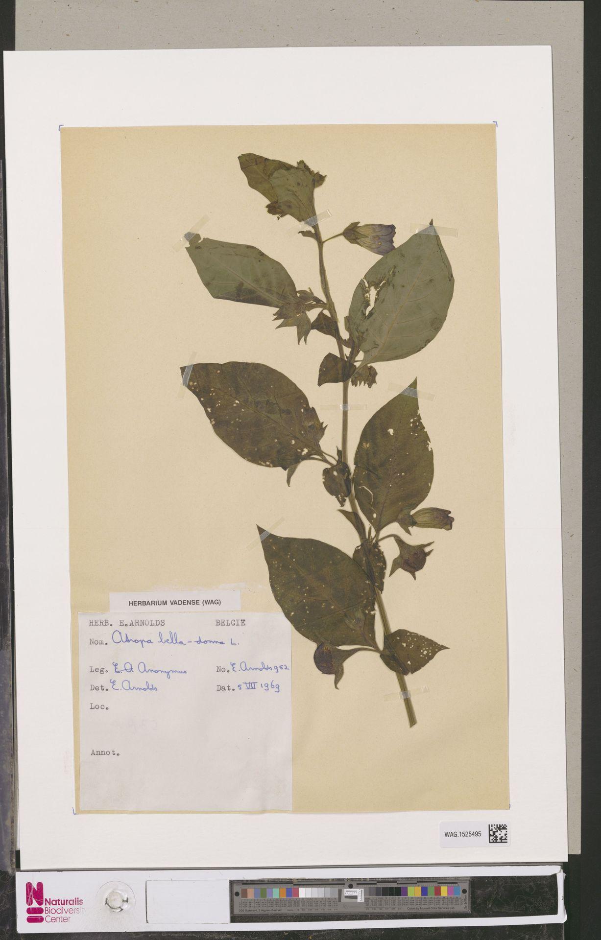 WAG.1525495   Atropa belladonna L.