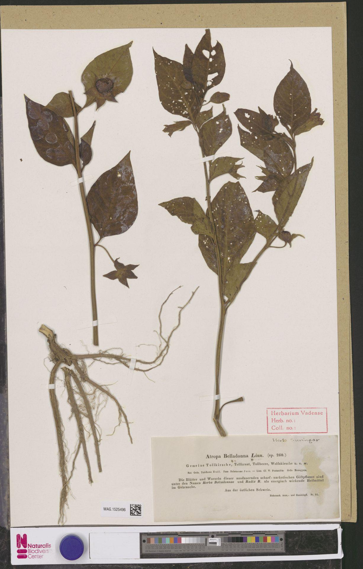 WAG.1525496 | Atropa belladonna L.
