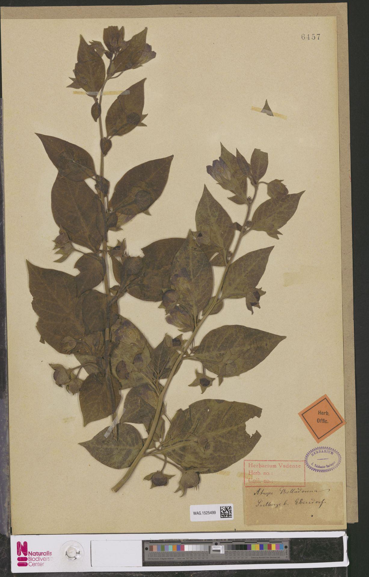 WAG.1525499 | Atropa belladonna L.