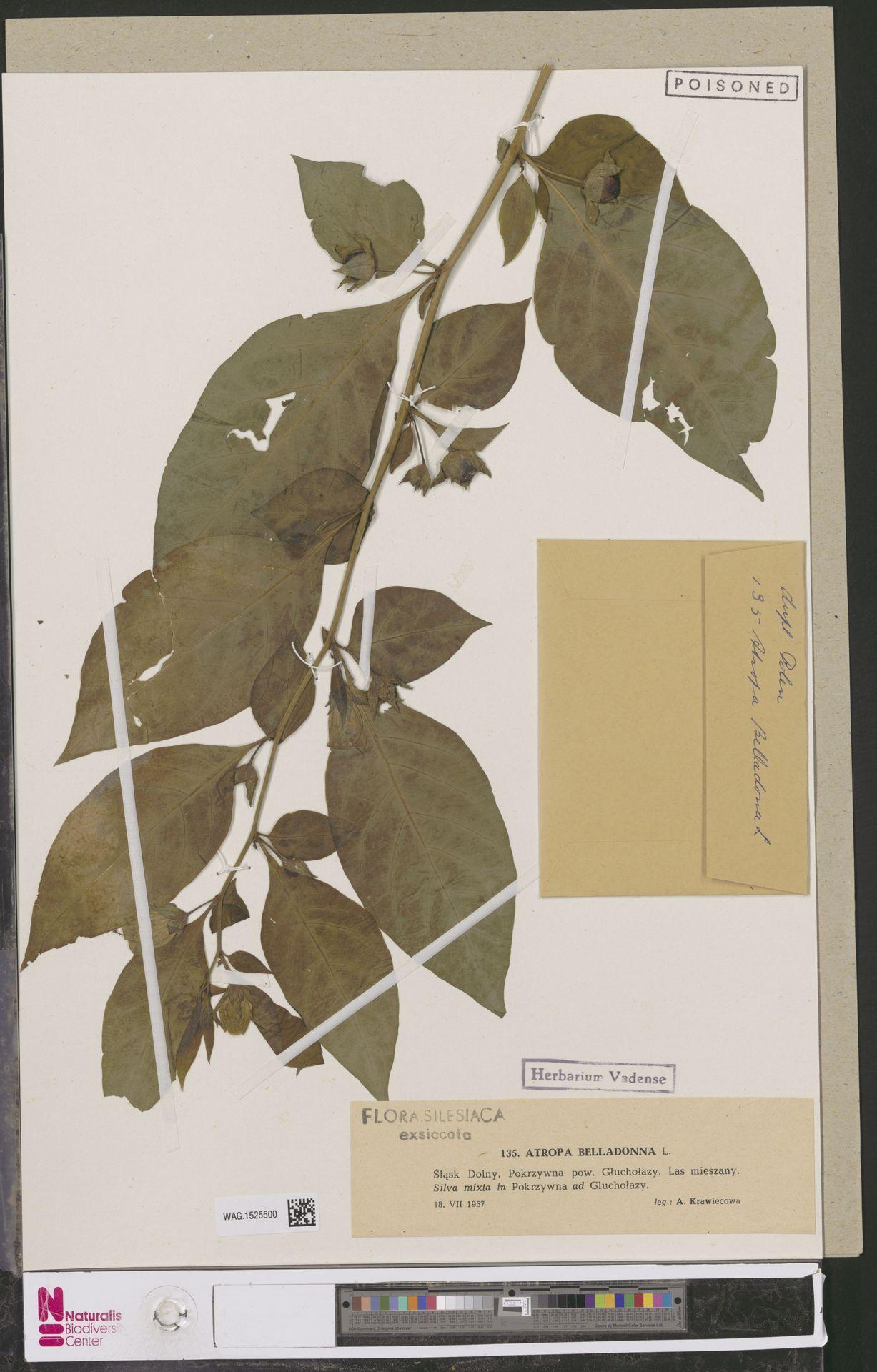 WAG.1525500 | Atropa belladonna L.
