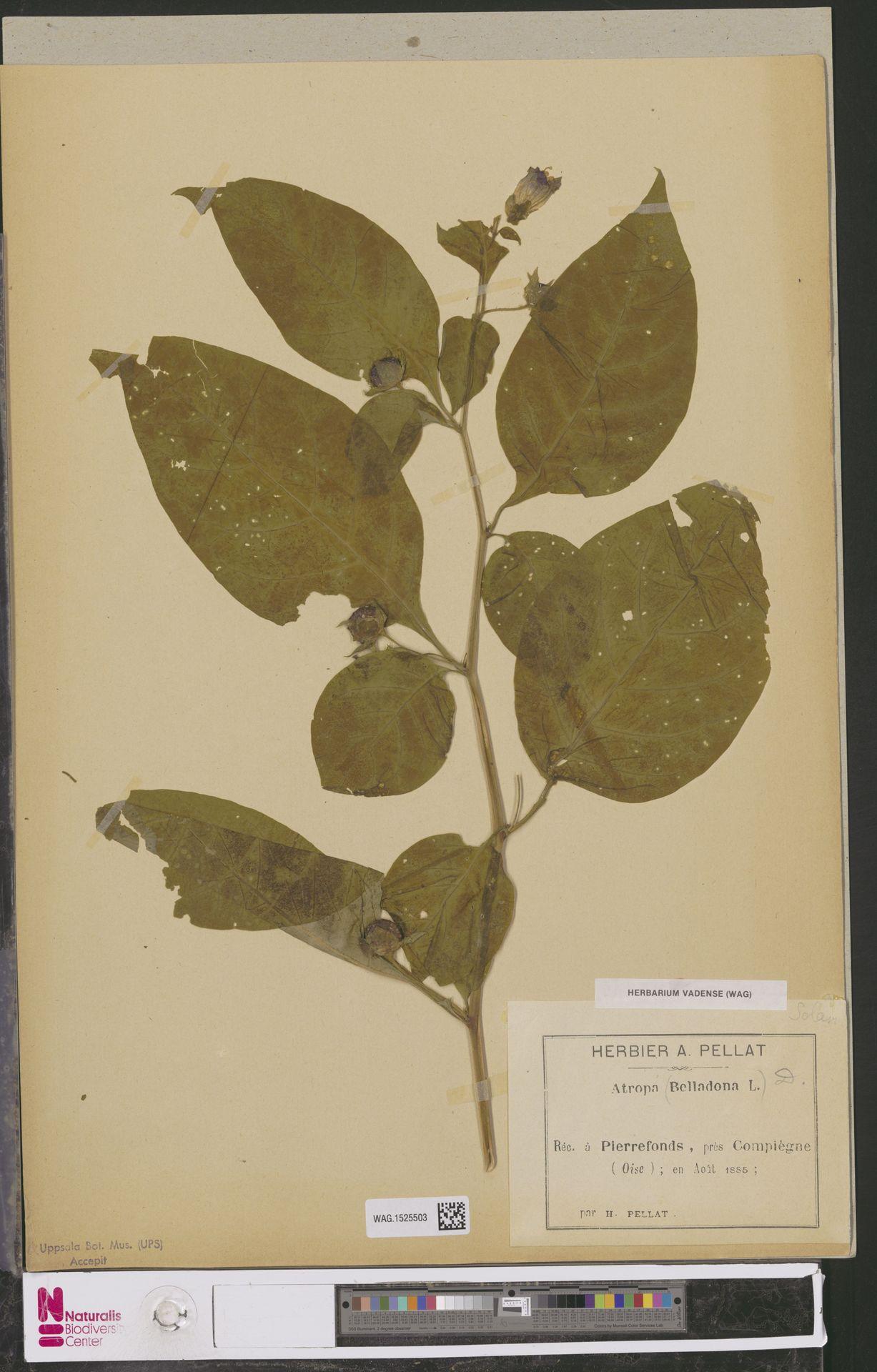 WAG.1525503   Atropa belladonna L.