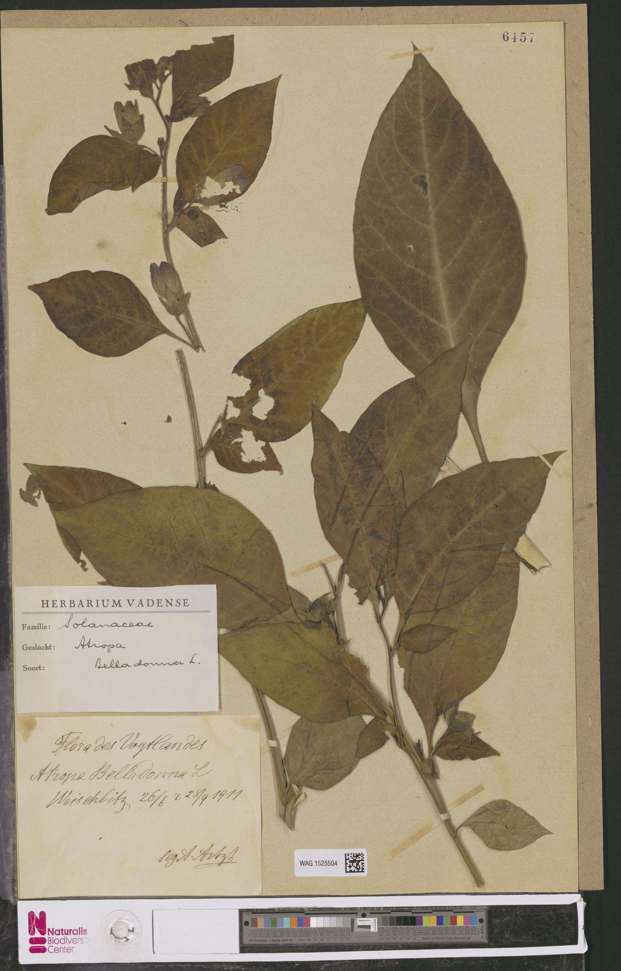 WAG.1525504 | Atropa belladonna L.