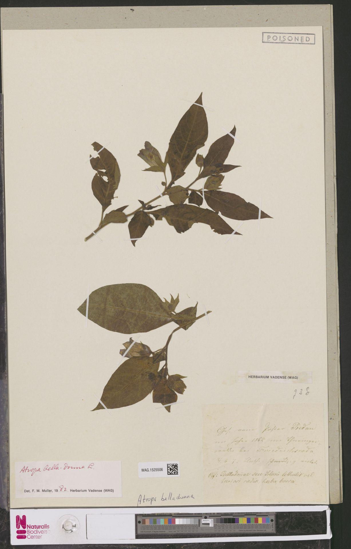 WAG.1525506 | Atropa belladonna L.