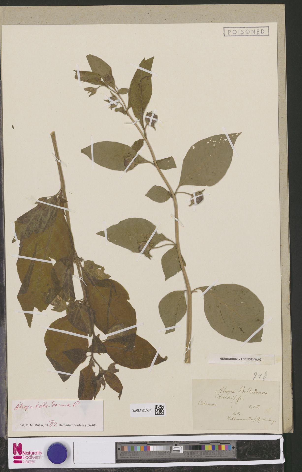 WAG.1525507 | Atropa belladonna L.