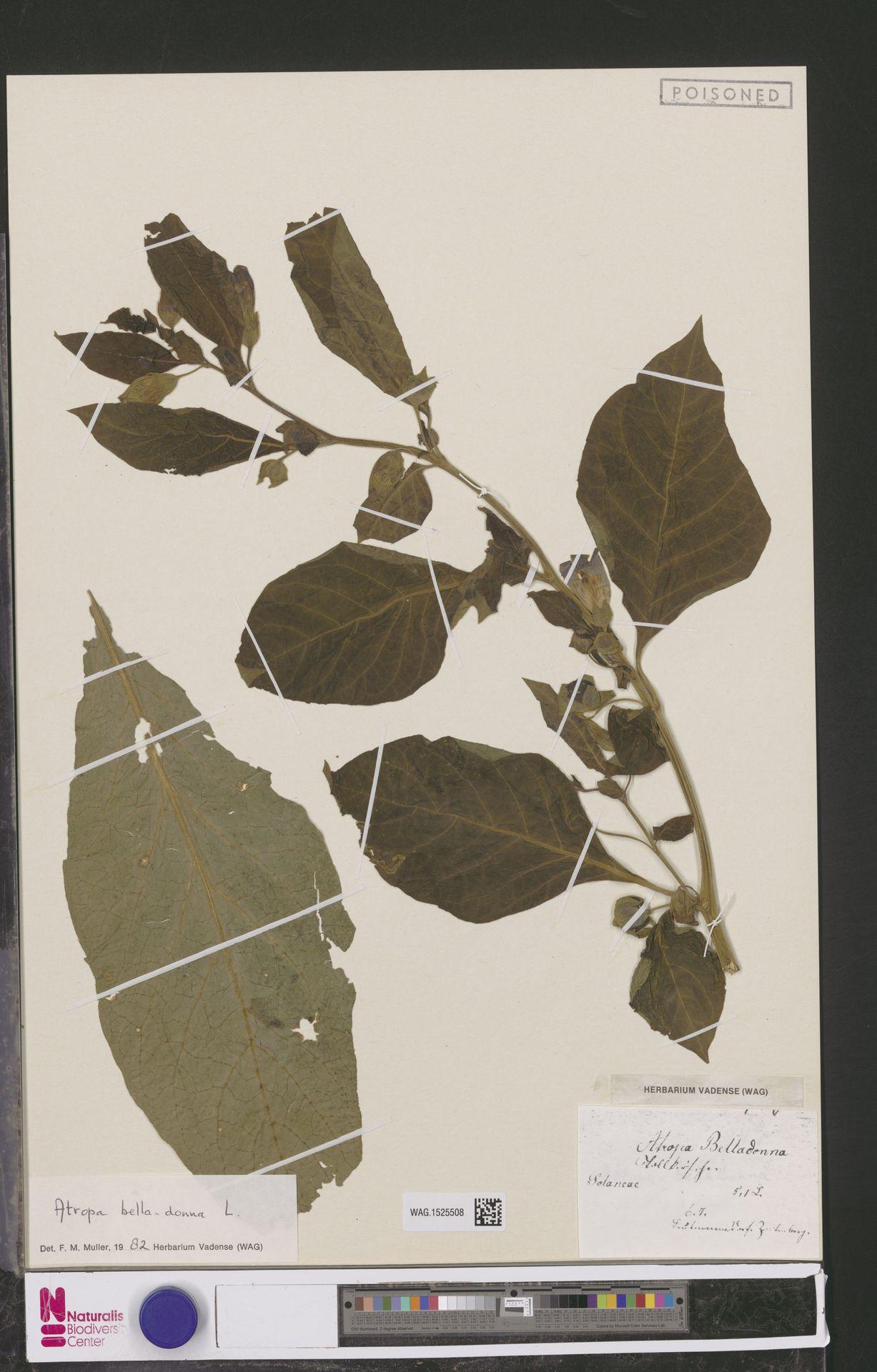 WAG.1525508 | Atropa belladonna L.