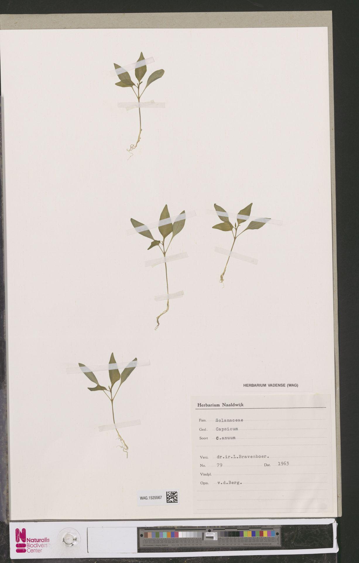 WAG.1525567 | Capsicum annuum L.
