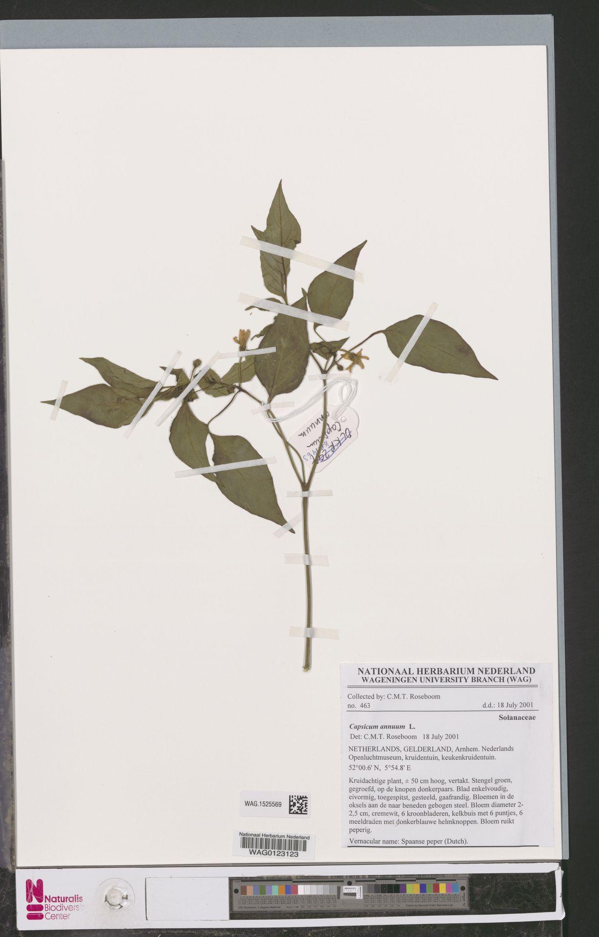 WAG.1525569 | Capsicum annuum L.