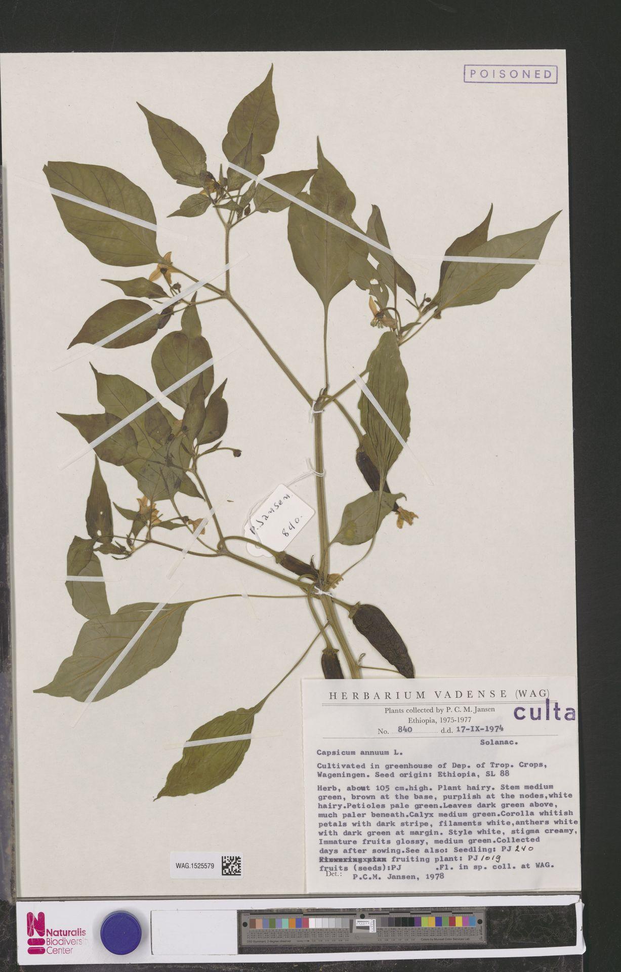 WAG.1525579 | Capsicum annuum L.